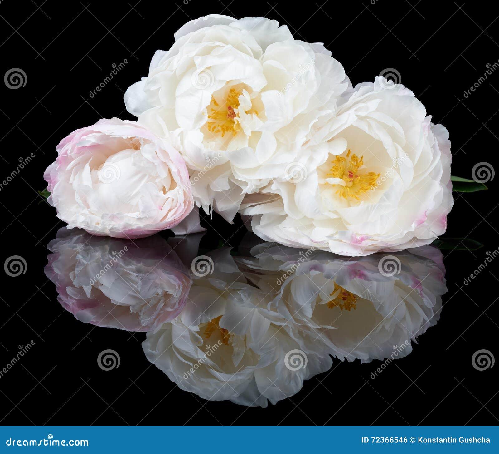 白色和桃红色牡丹