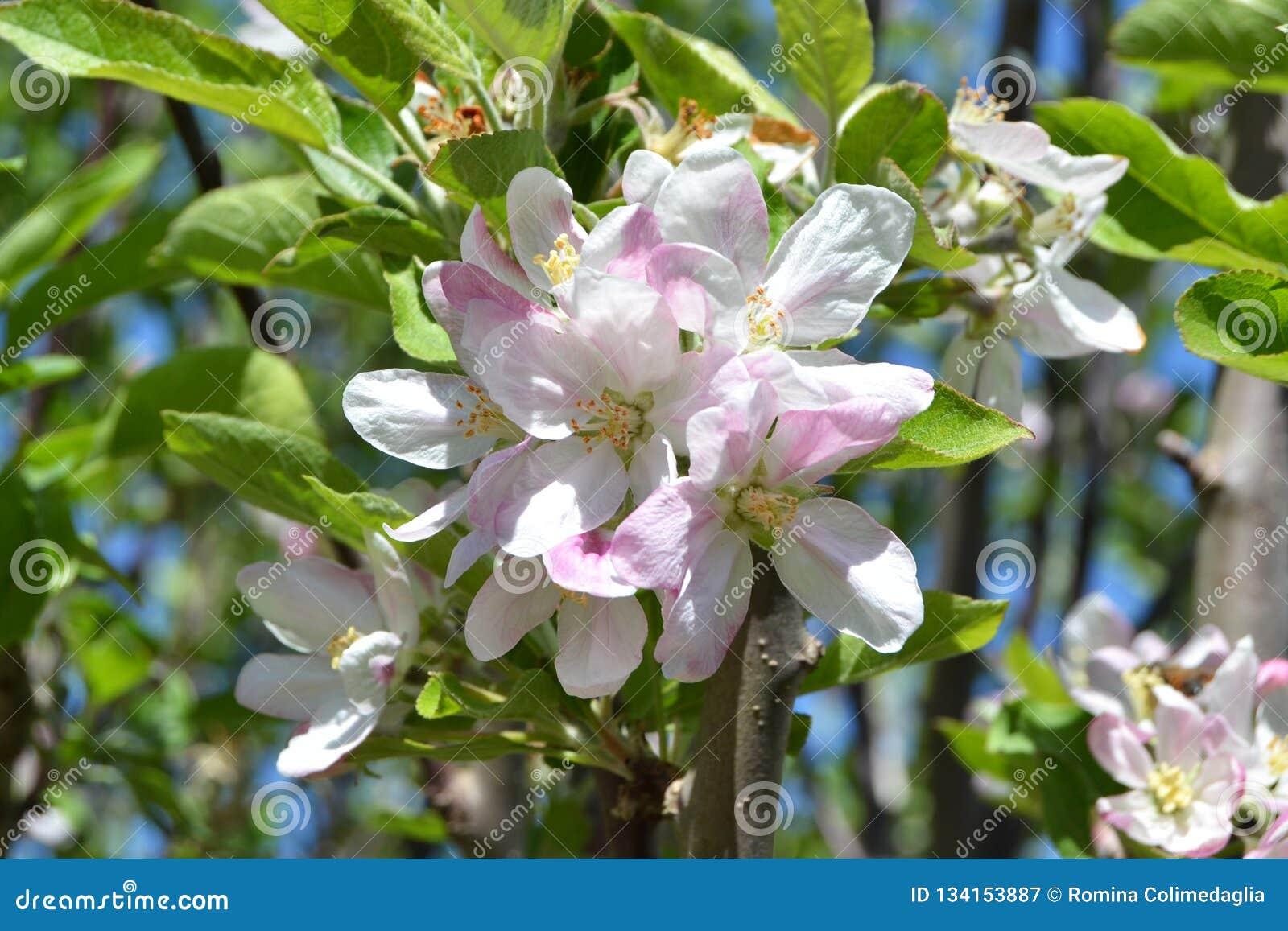 白色和桃红色镇静苹果花
