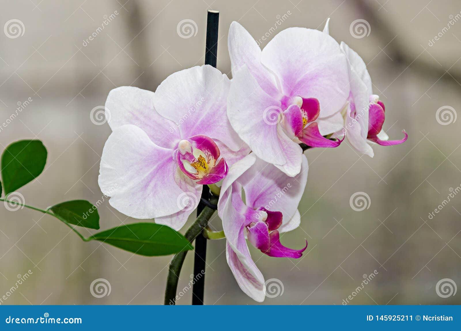 白色和淡紫色兰花分支phal花,关闭,窗口背景