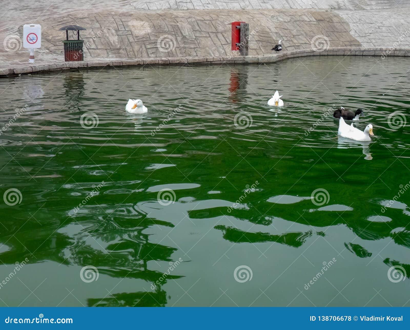 白色和黑鸭在一个人为池塘游泳