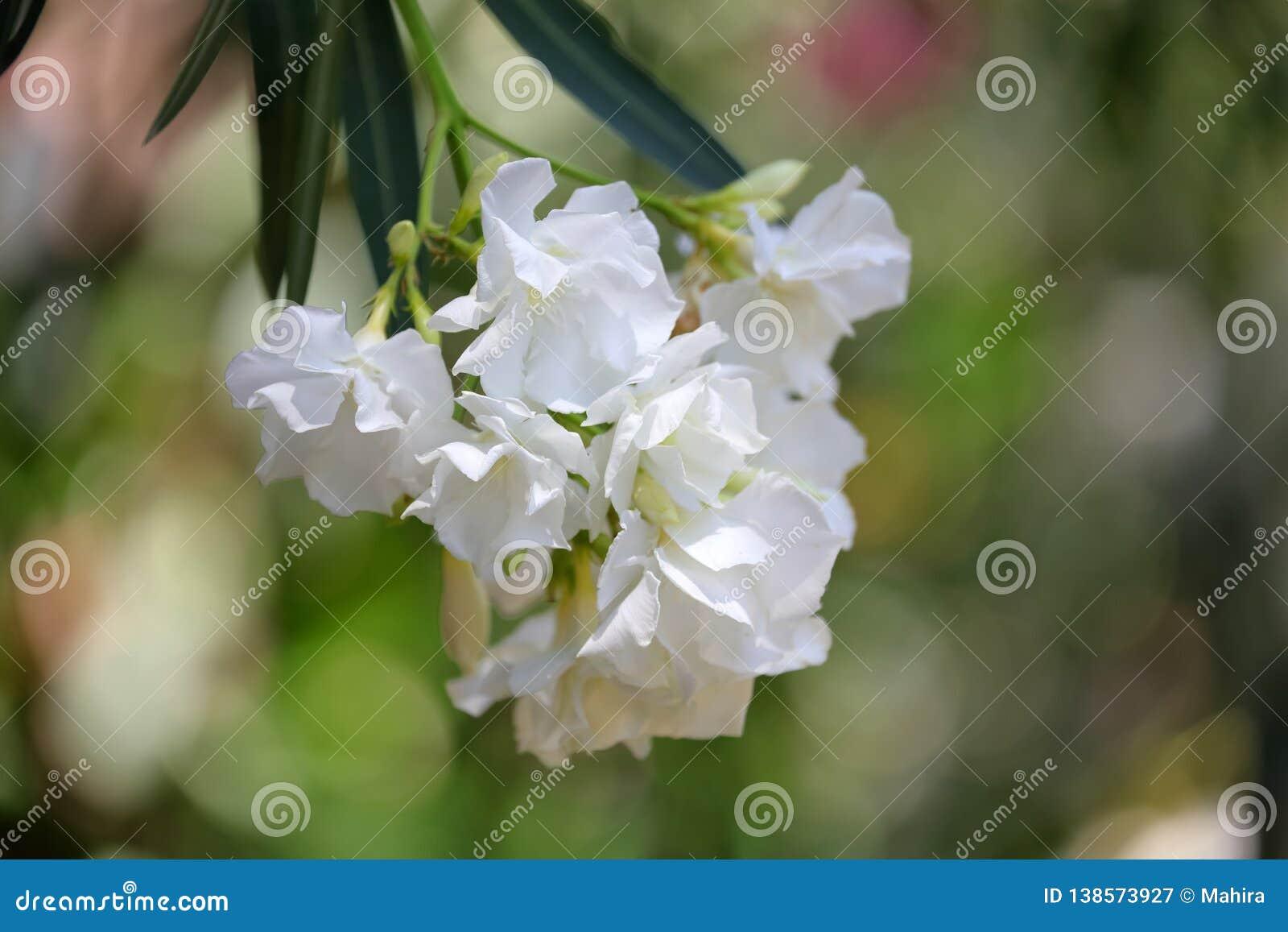 白色夹竹桃花和叶子