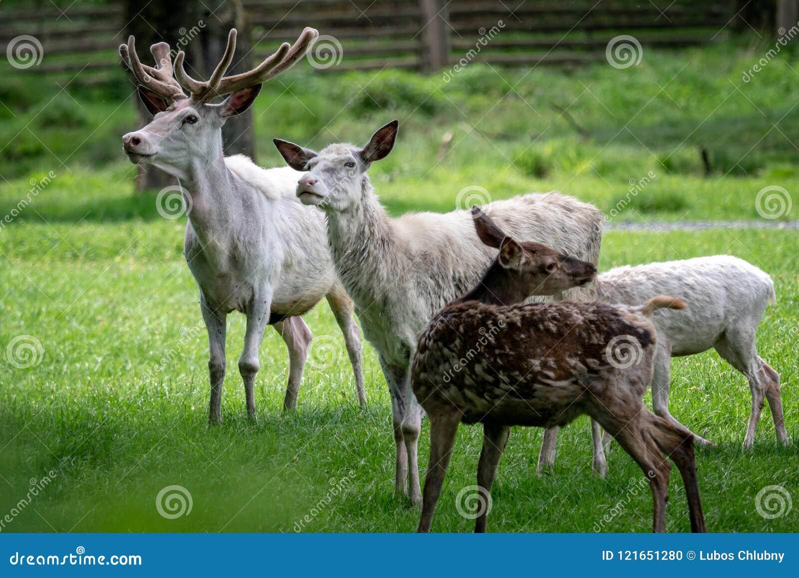 白色小鹿牧群  罕见的白变种小鹿Da