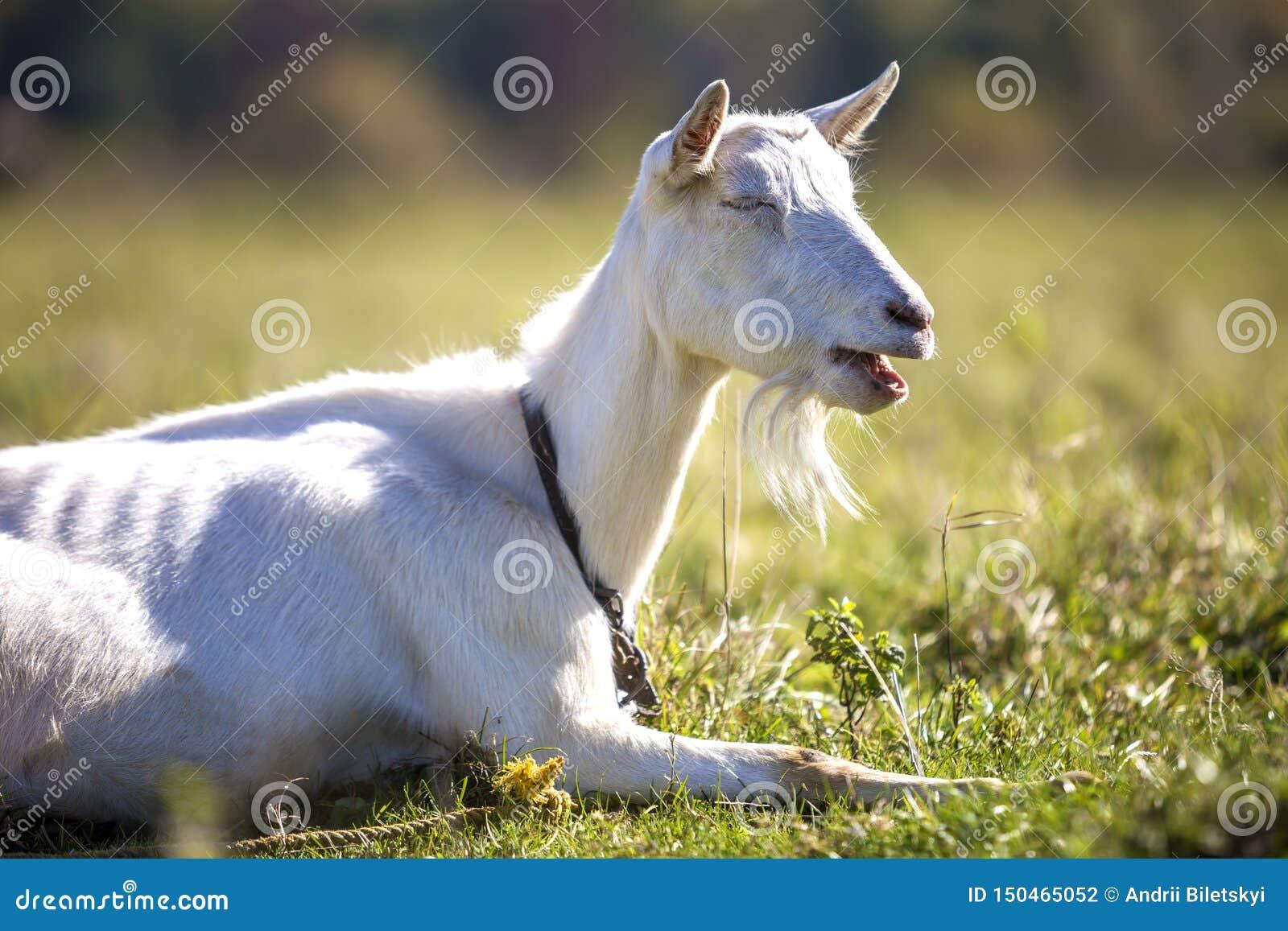 白色山羊画象与胡子的在被弄脏的bokeh背景 种田有用的动物概念