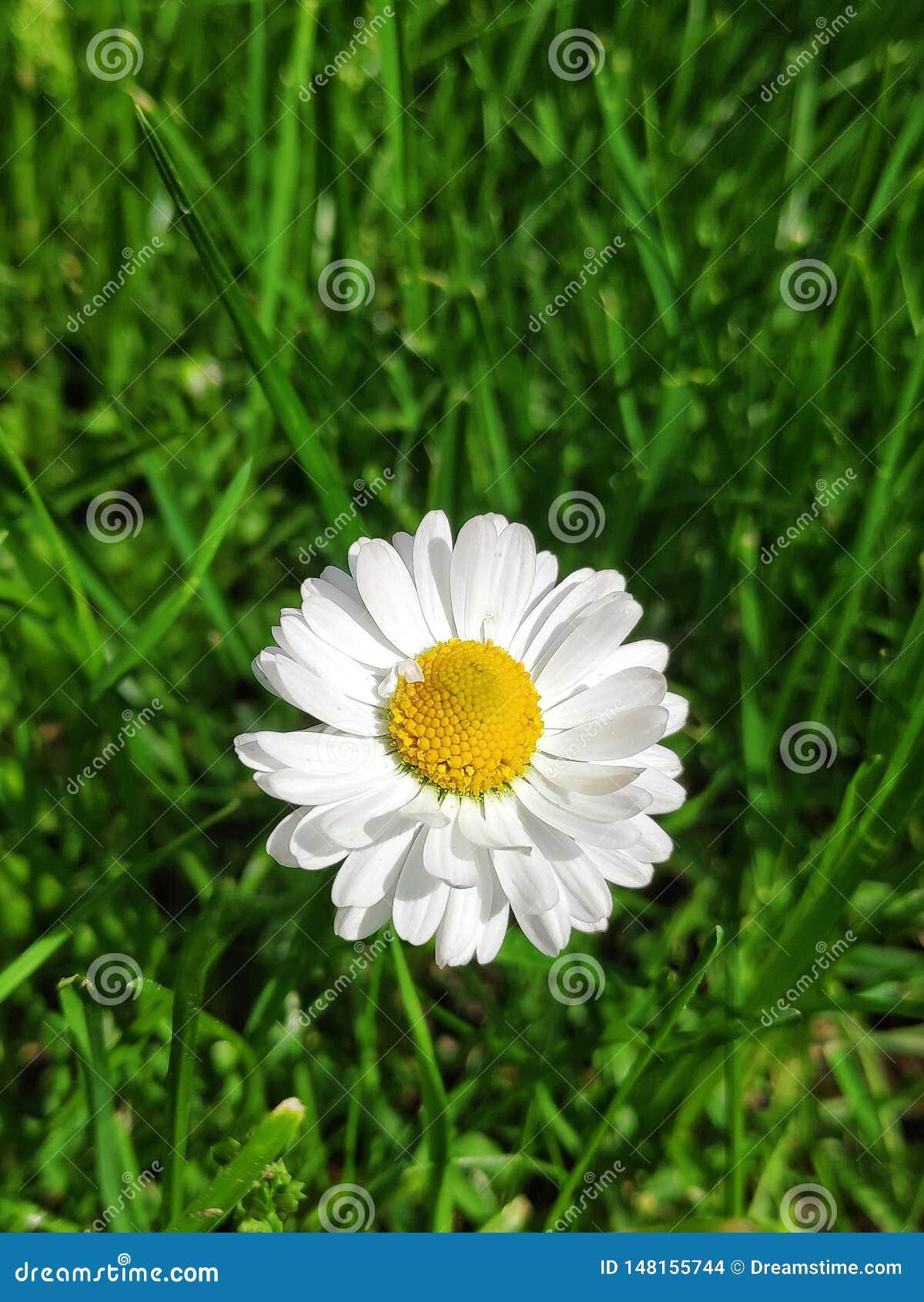 白色庭院雏菊