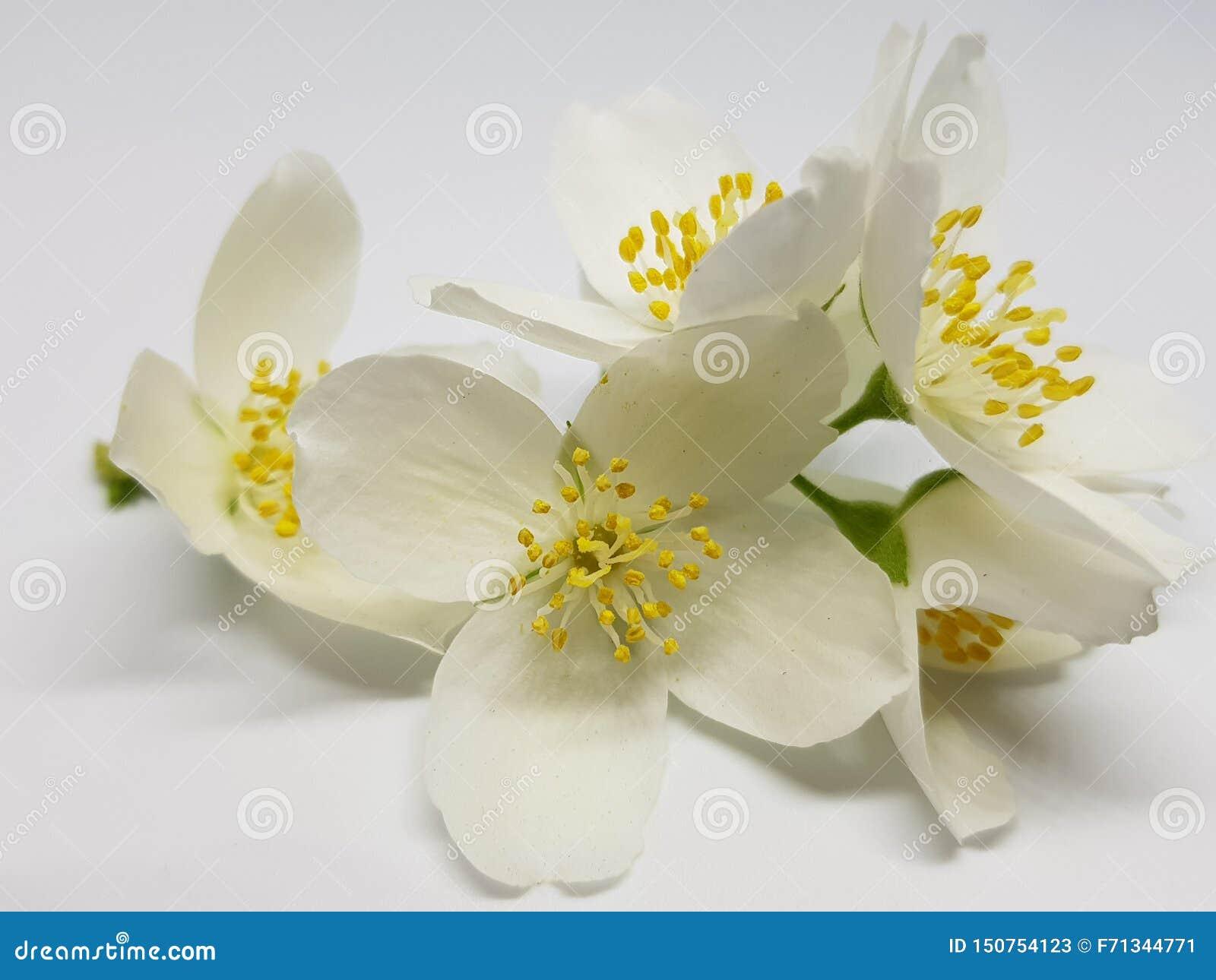 白色开花的茉莉花花在轻的背景的