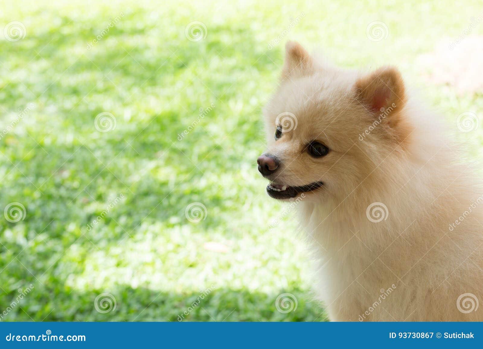 白色愉快小狗pomeranian狗逗人喜爱的宠物的微笑