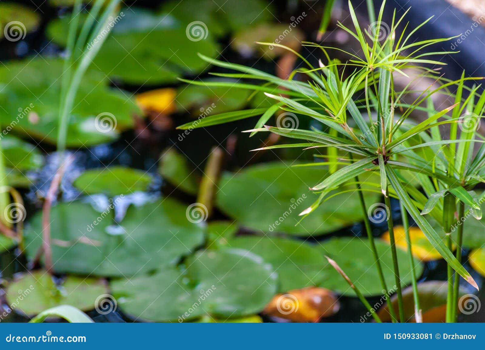 白色星莲属或荷花与黄色心脏花和绿色叶子在水中与平静的反射在庭院池塘,特写镜头