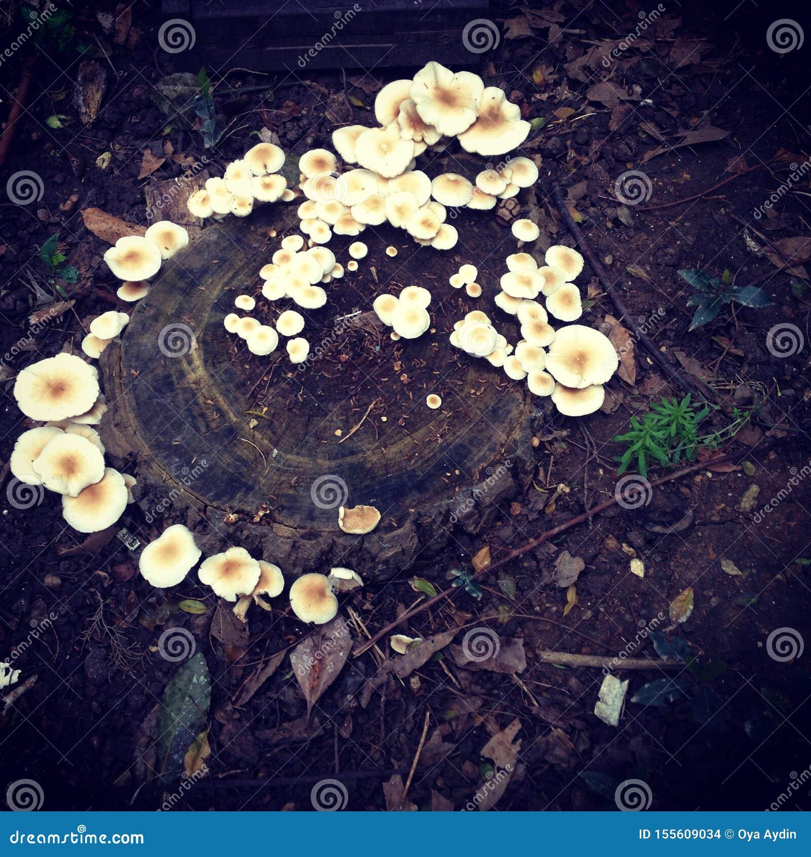 白色根真菌