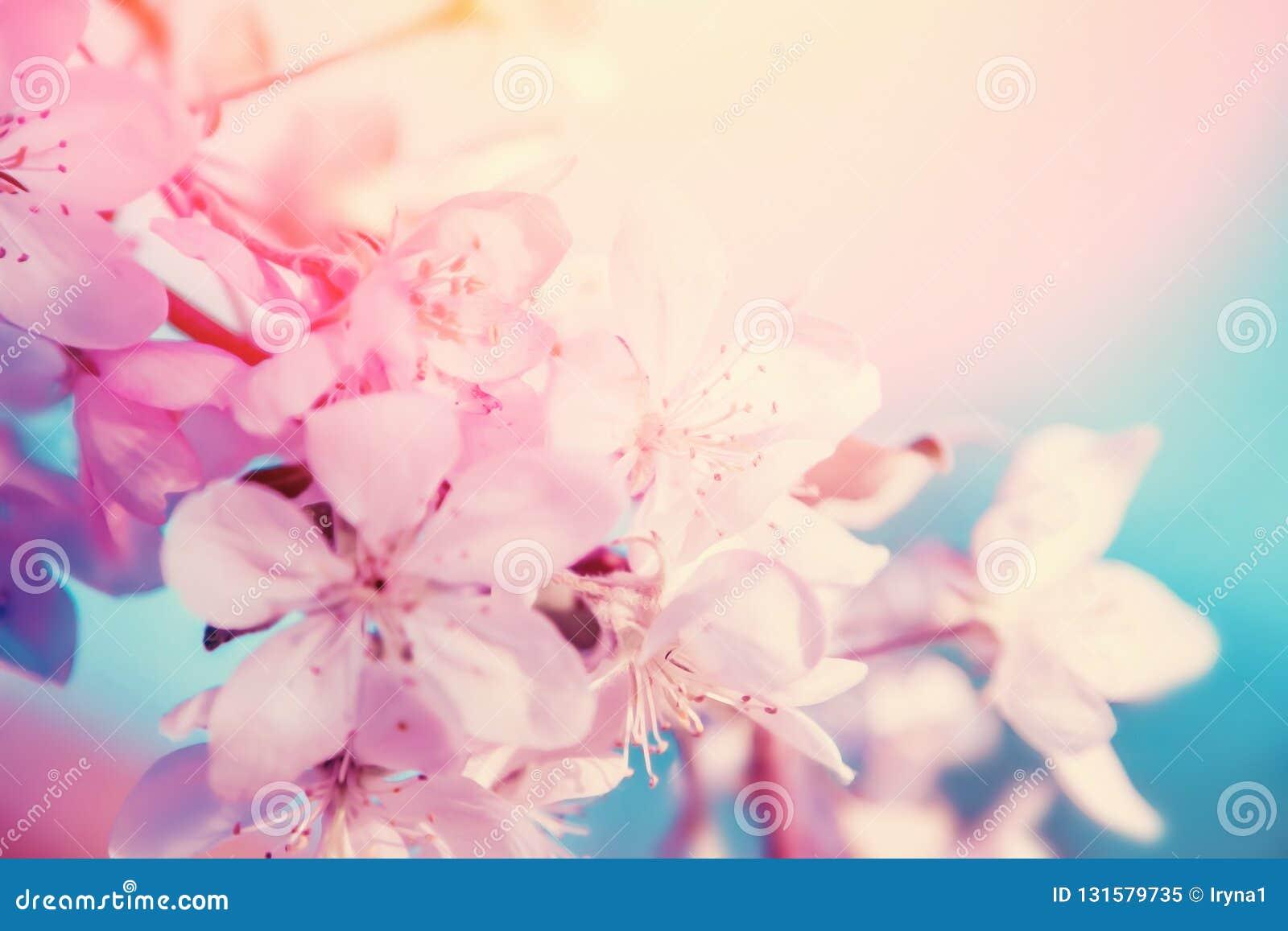 白色樱桃花在树开花 自然美好的花卉背景