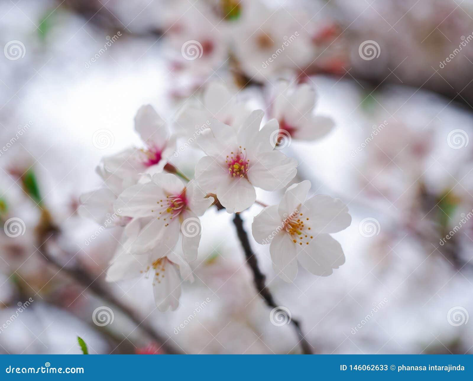 白色樱花或佐仓花有选择性的软的焦点在散开的背景