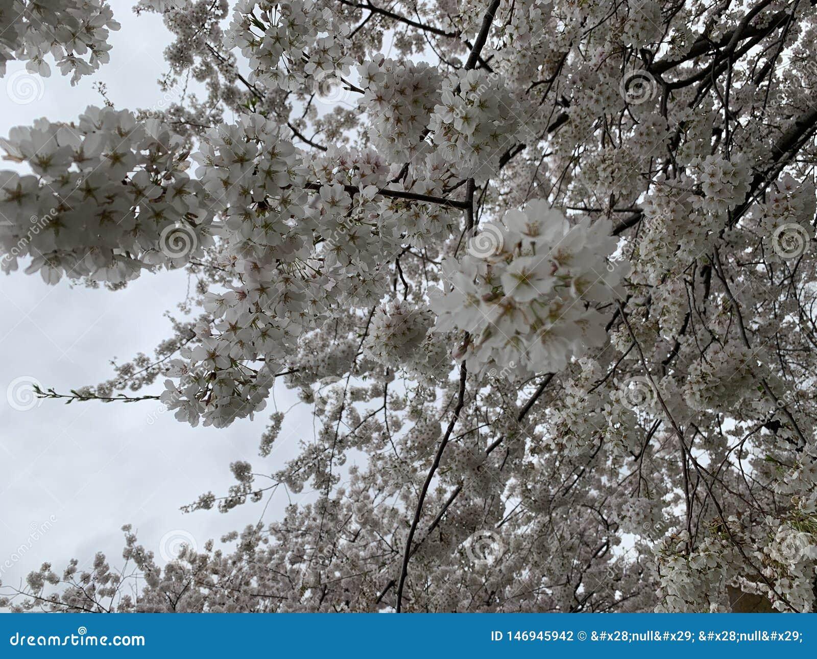 白色樱花高峰绽放