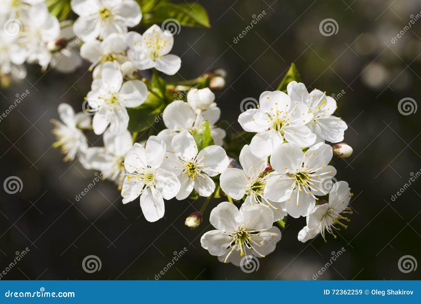 白色樱花,阳光,宏指令