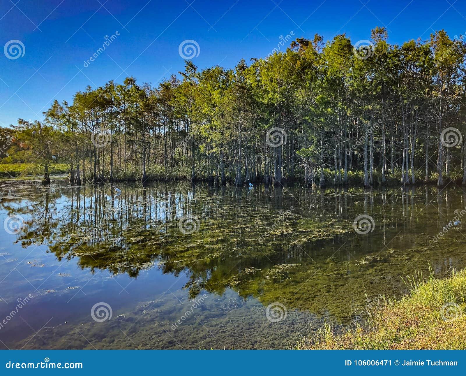 白色沼泽白鹭