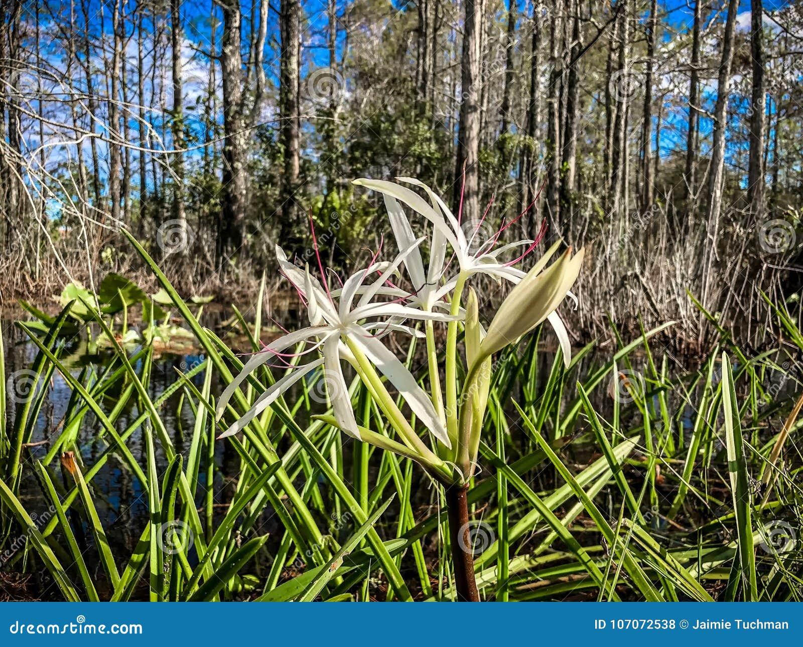 白色沼泽花和柏树