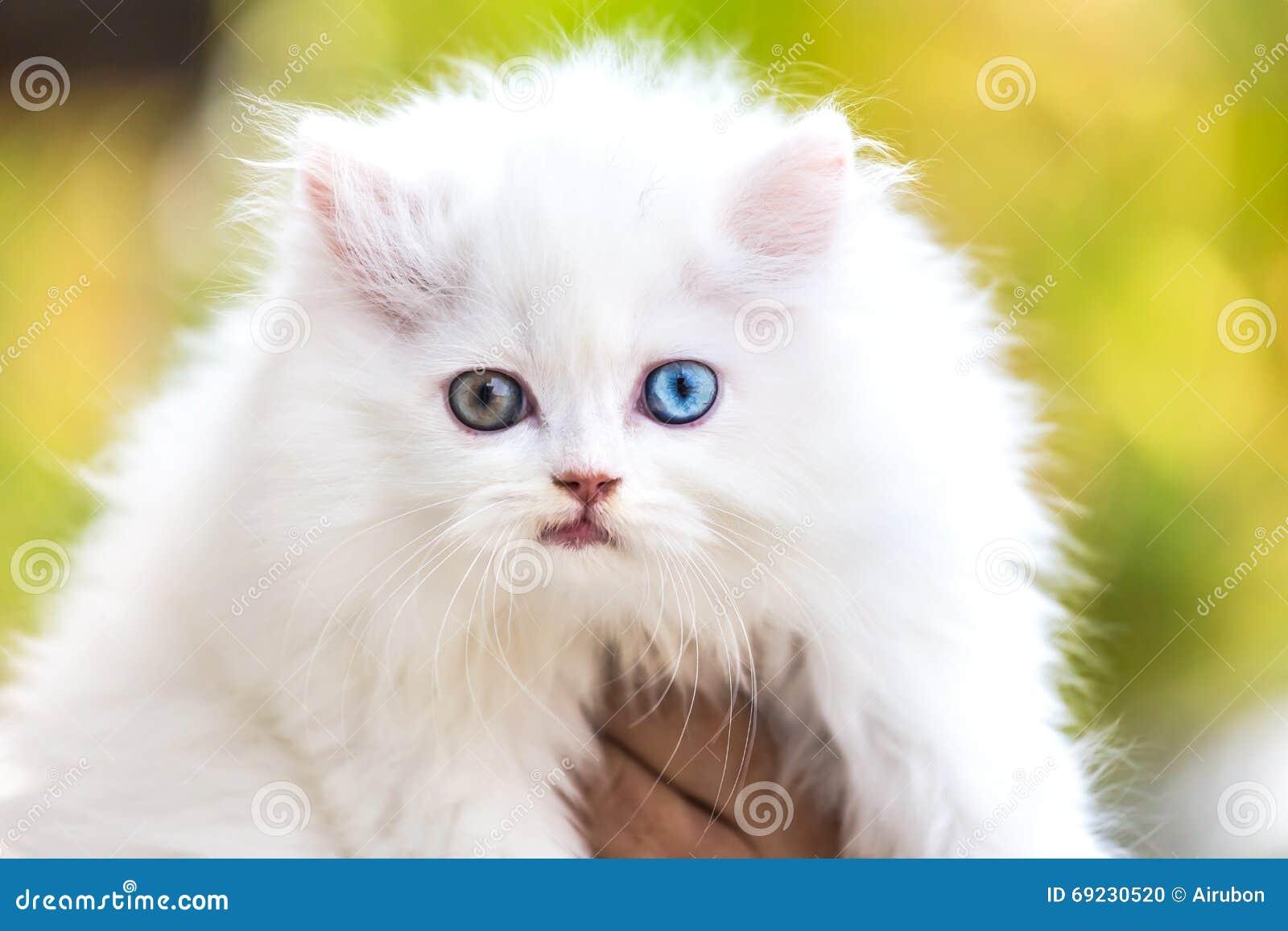 看用不同的眼睛的白色波斯猫.