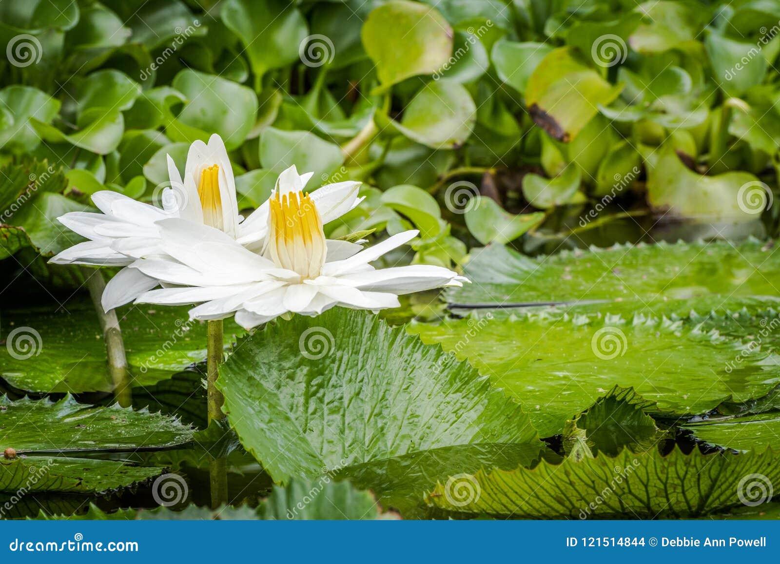 白色热带荷花在池塘