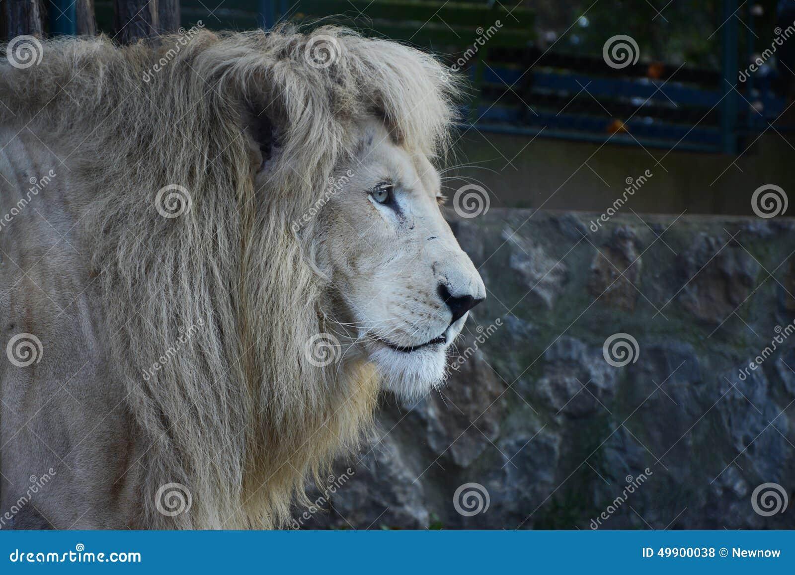 图片库存在动物园里狮子照片-武术:49900038普宁白色舞狮子客家图片