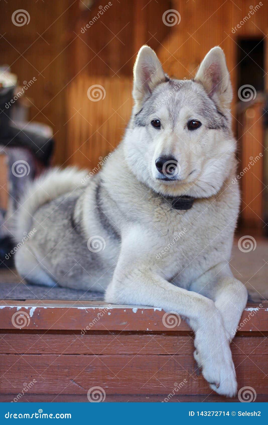 白色猎犬品种基于地板的Laika 宠物