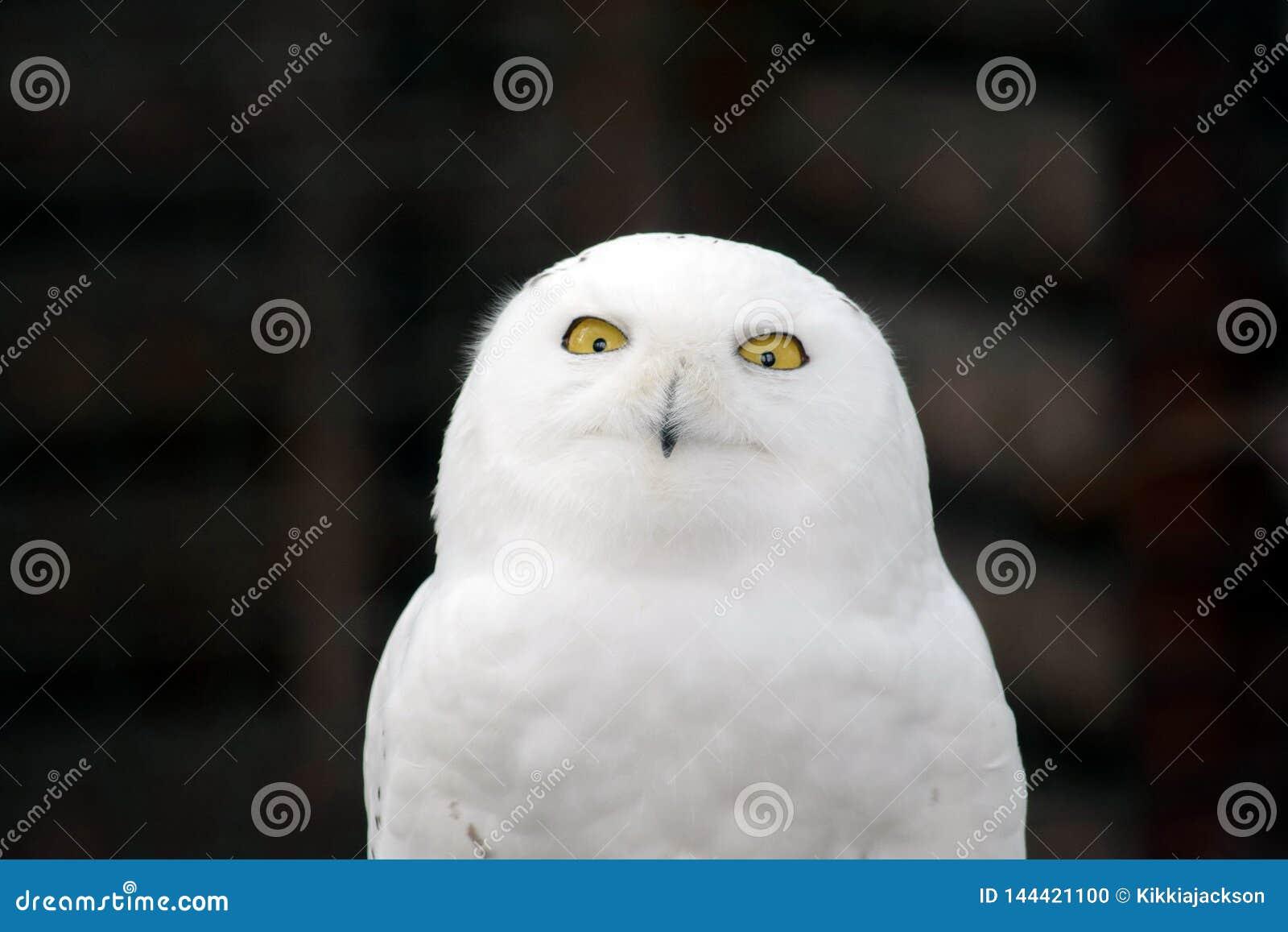 白色猫头鹰Nyctea Scandiaca