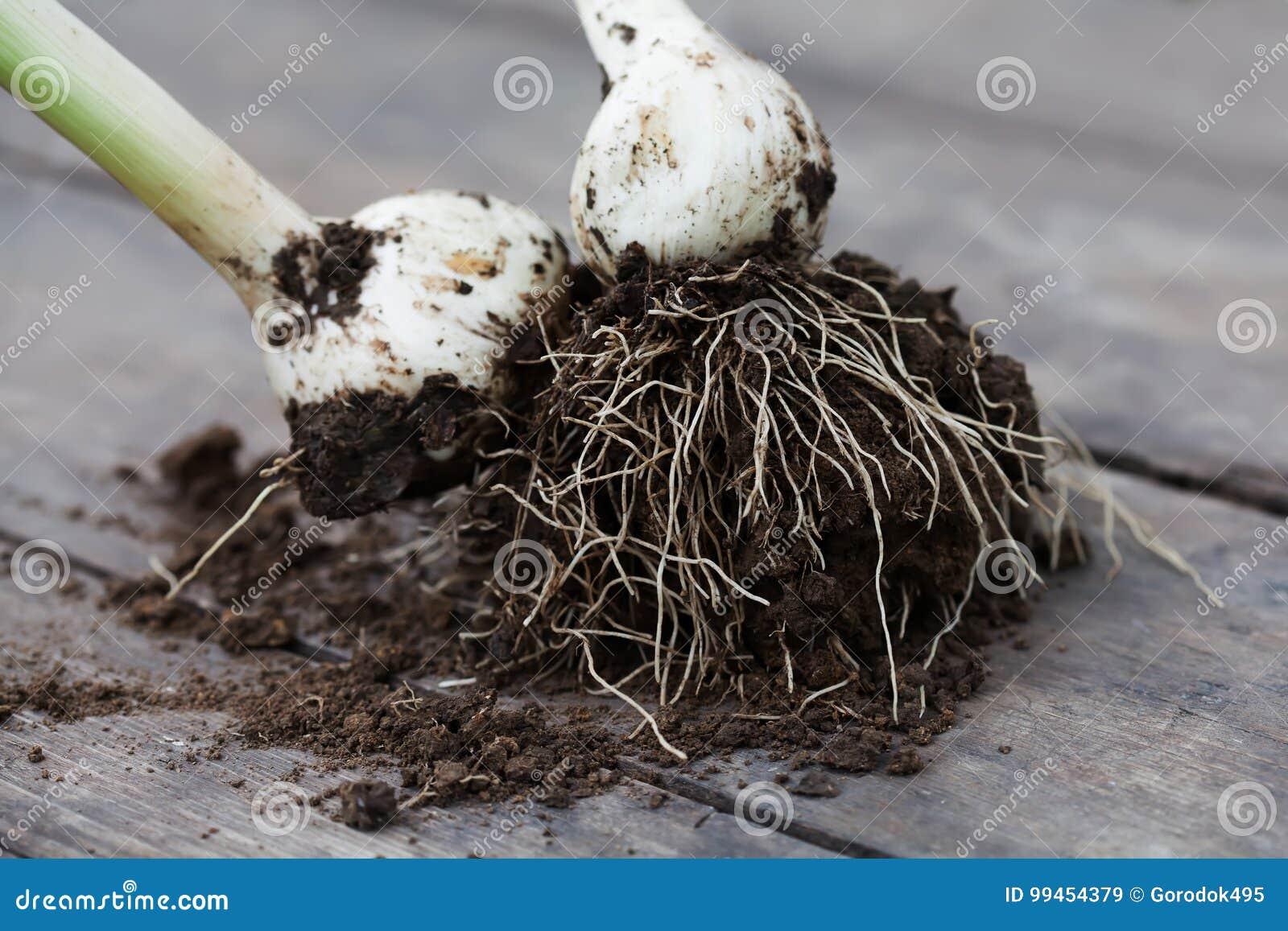 白色电灯泡葱植物根源与在木桌,选择聚焦上的土壤
