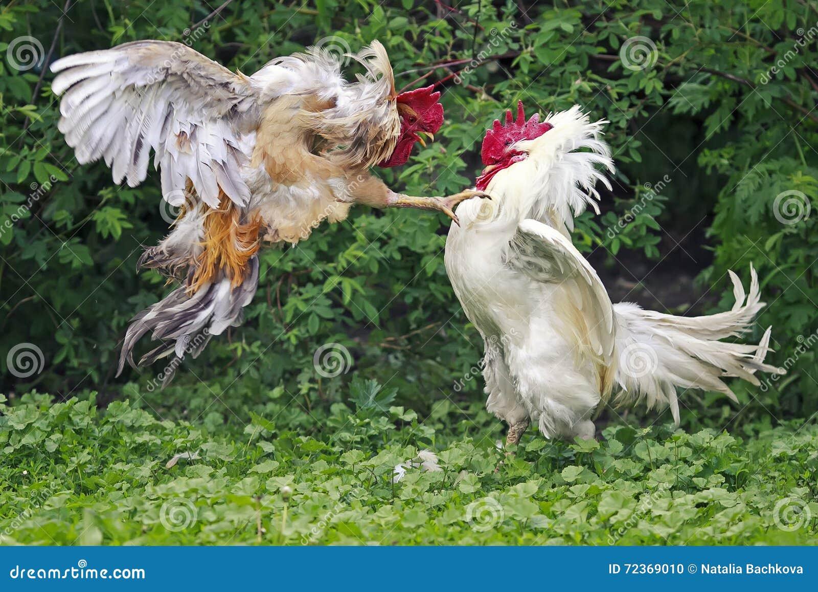 白色的公鸡和在农场的红色战斗