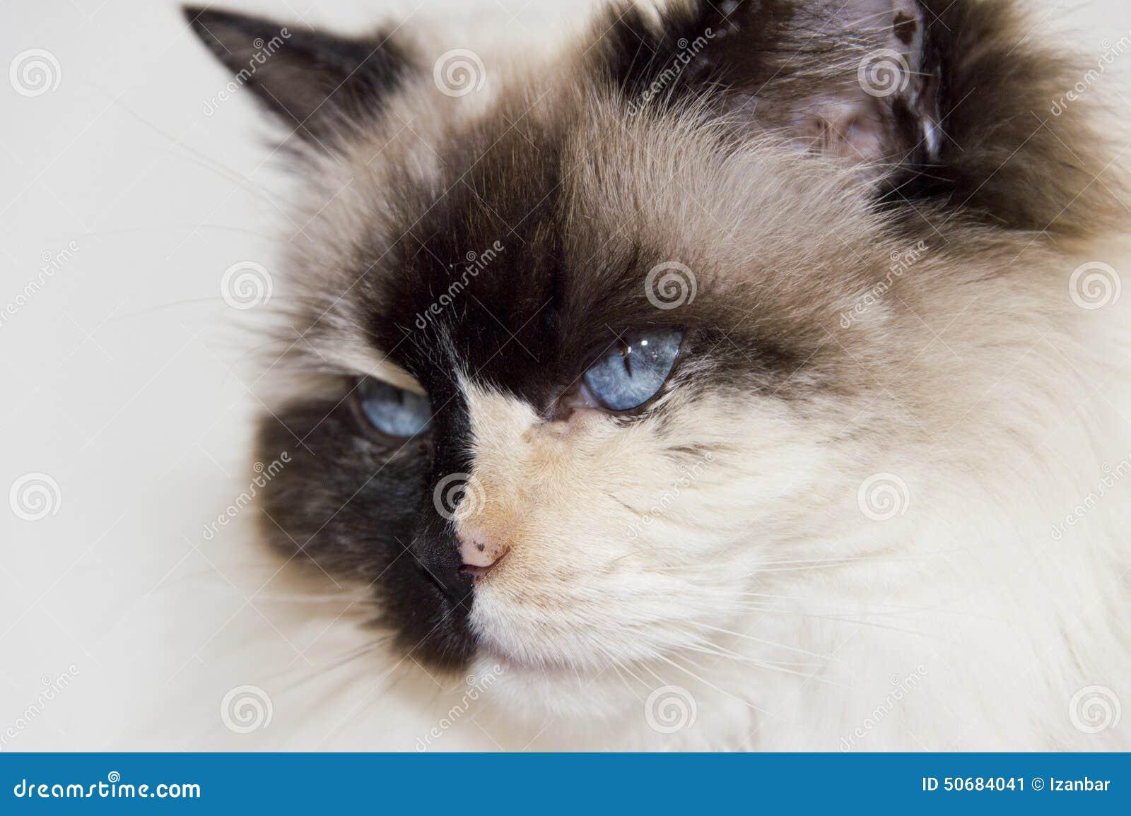 Download 白色的蓝眼睛和黑ragdoll猫 库存图片. 图片 包括有 人们, 充分, 复制, 全部赌注, 空间, 毛皮 - 50684041