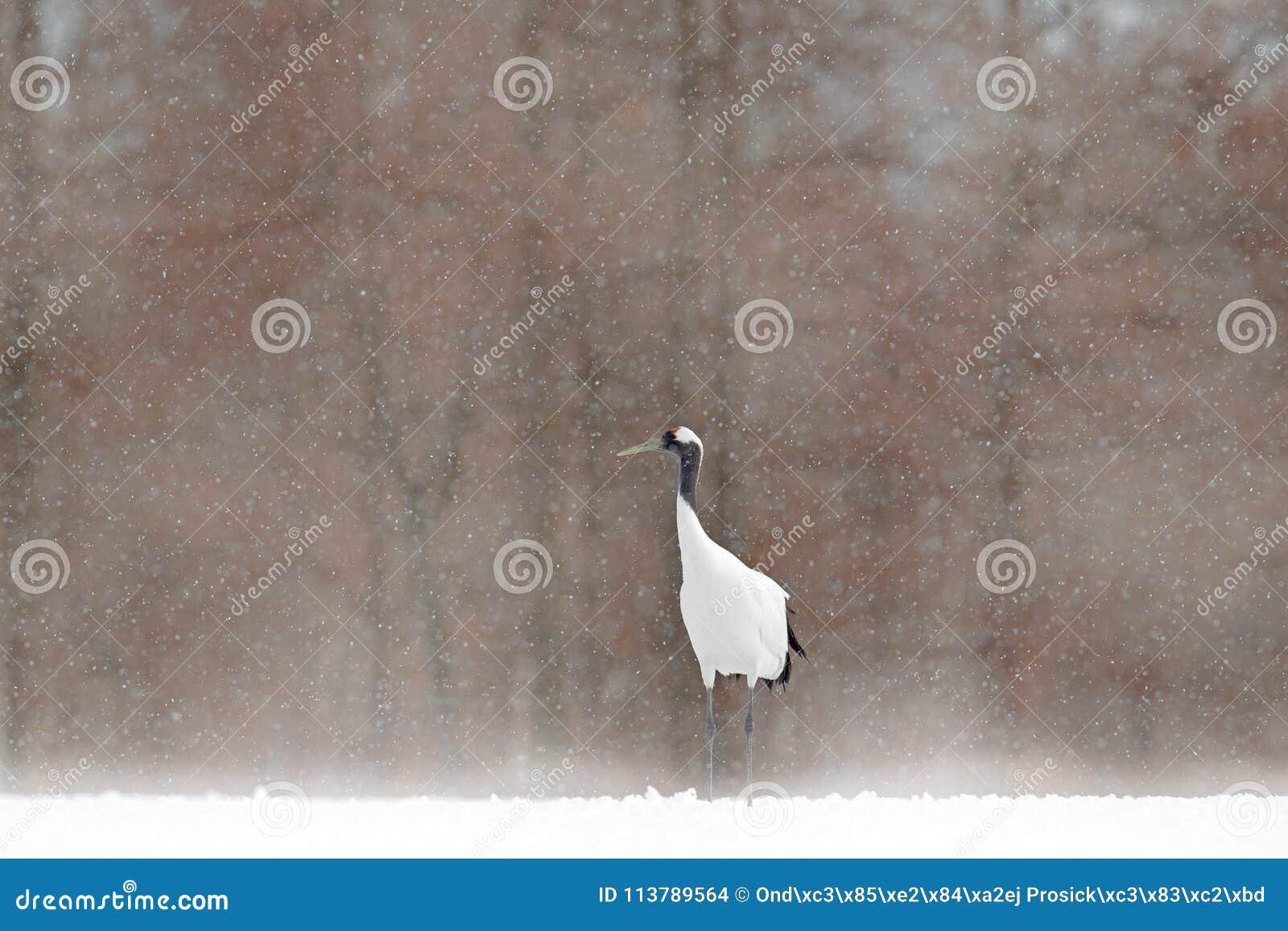 白色红加冠了有einter森林的起重机,有雪风暴的,北海道,日本 在飞行,与雪花的冬天场面的鸟 雪danc