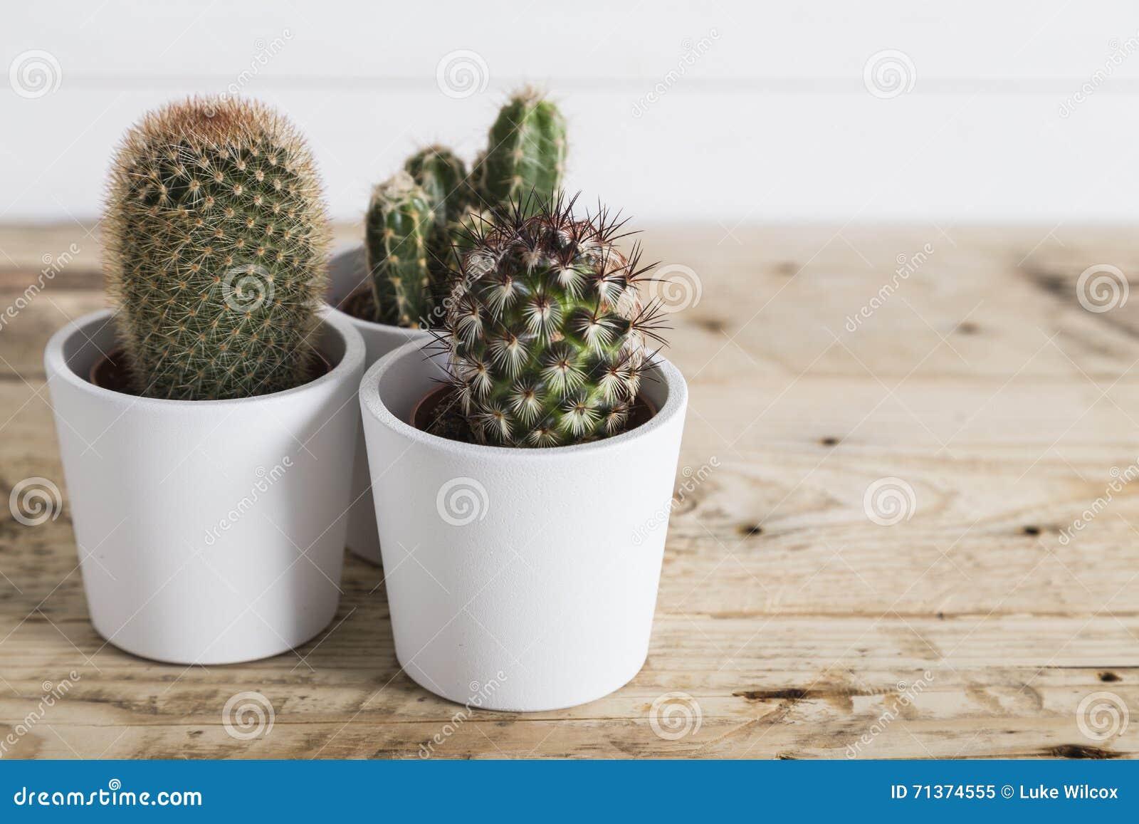 白色罐的仙人掌植物