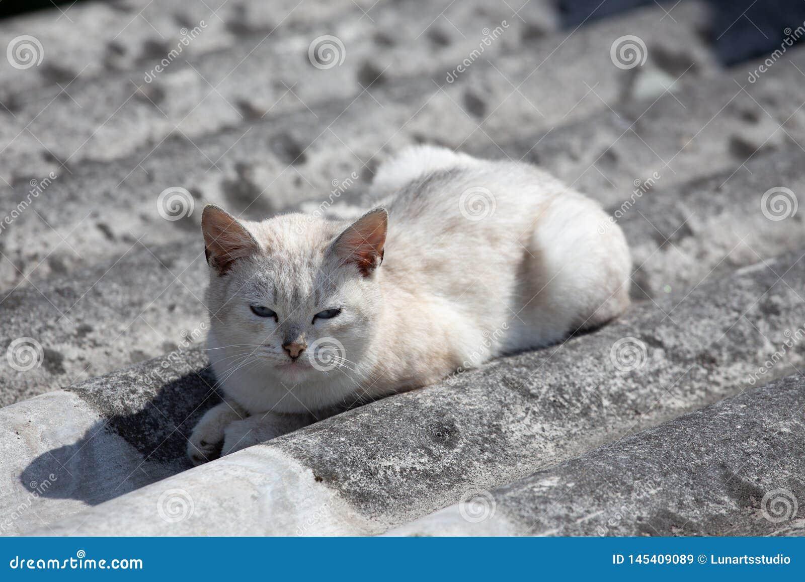 白色美丽的猫在灰色板岩说谎