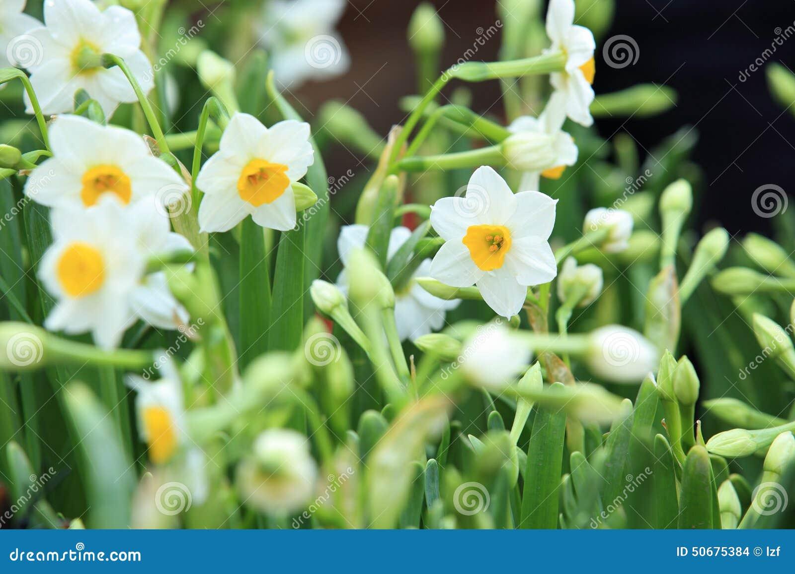Download 白色美丽的水仙花 库存照片. 图片 包括有 黄水仙, 通配, 空白, 叶子, 黄色, 工厂, 庭院, beautifuler - 50675384