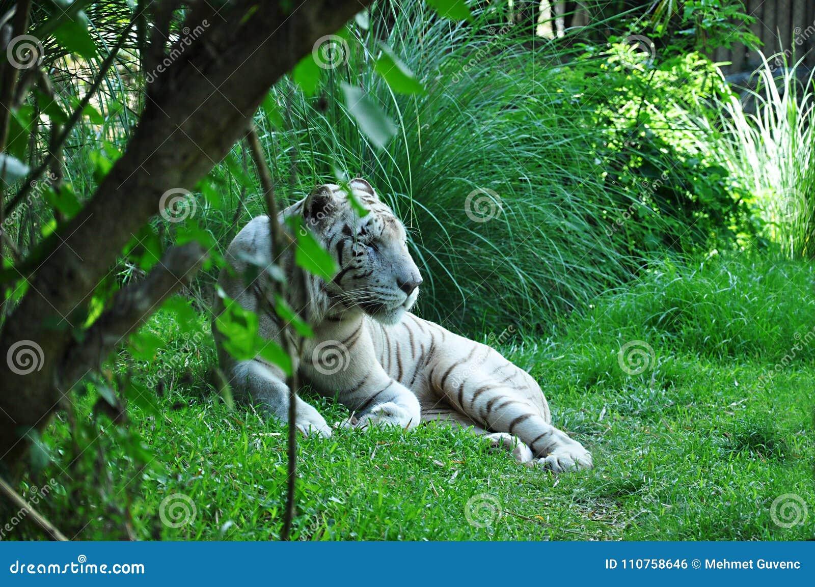 白色老虎 巴厘岛印度尼西亚