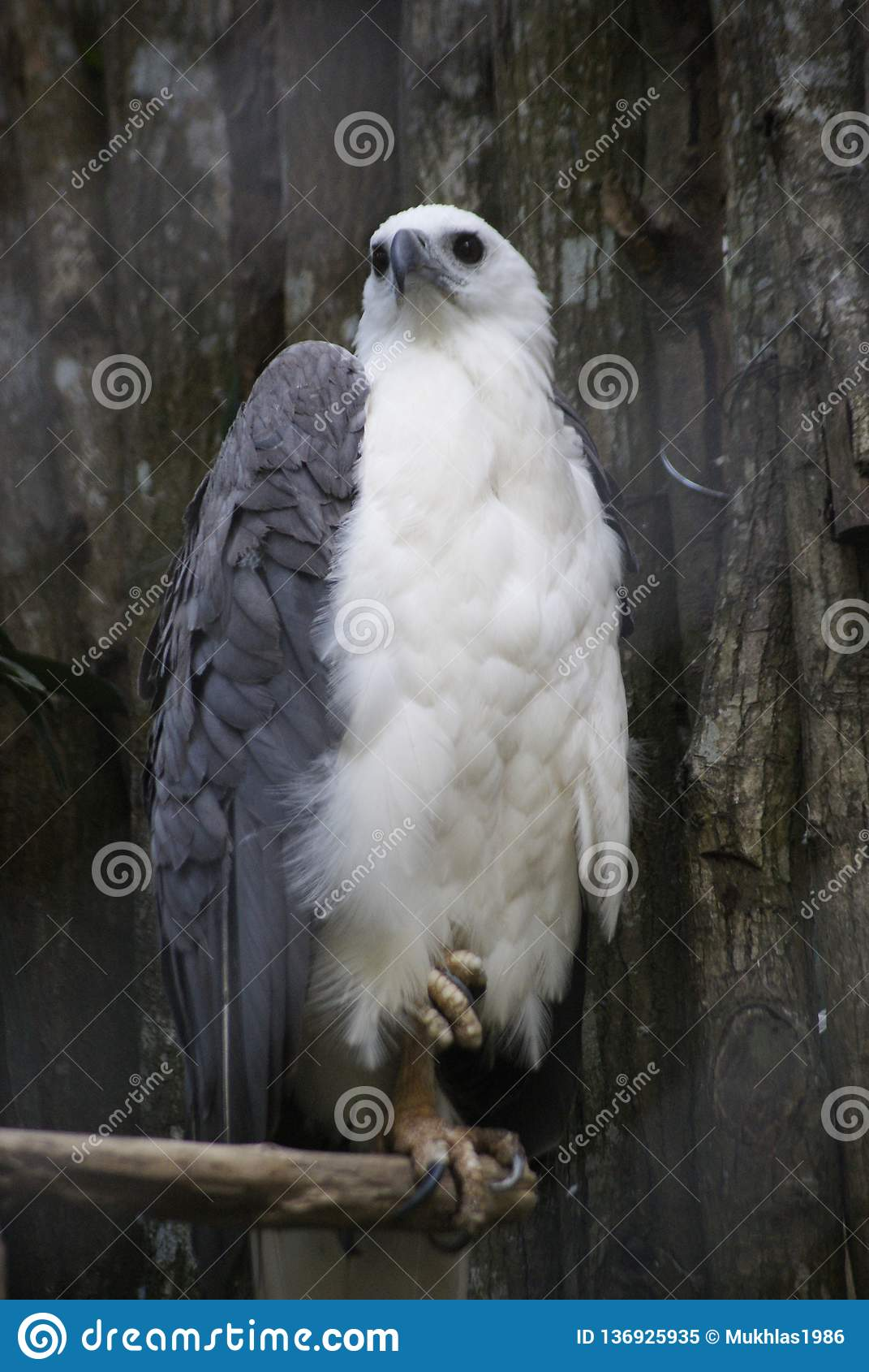 白色胸口老鹰
