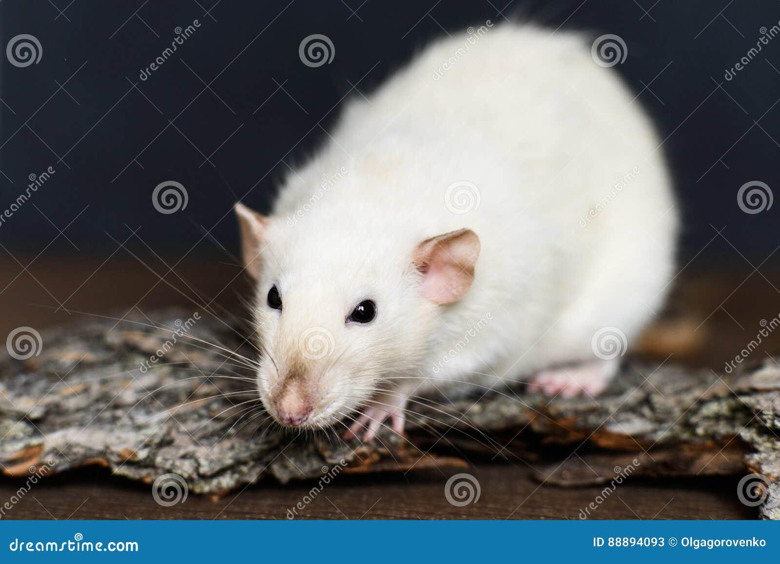白色花梢鼠坐在黑暗的背景的木头