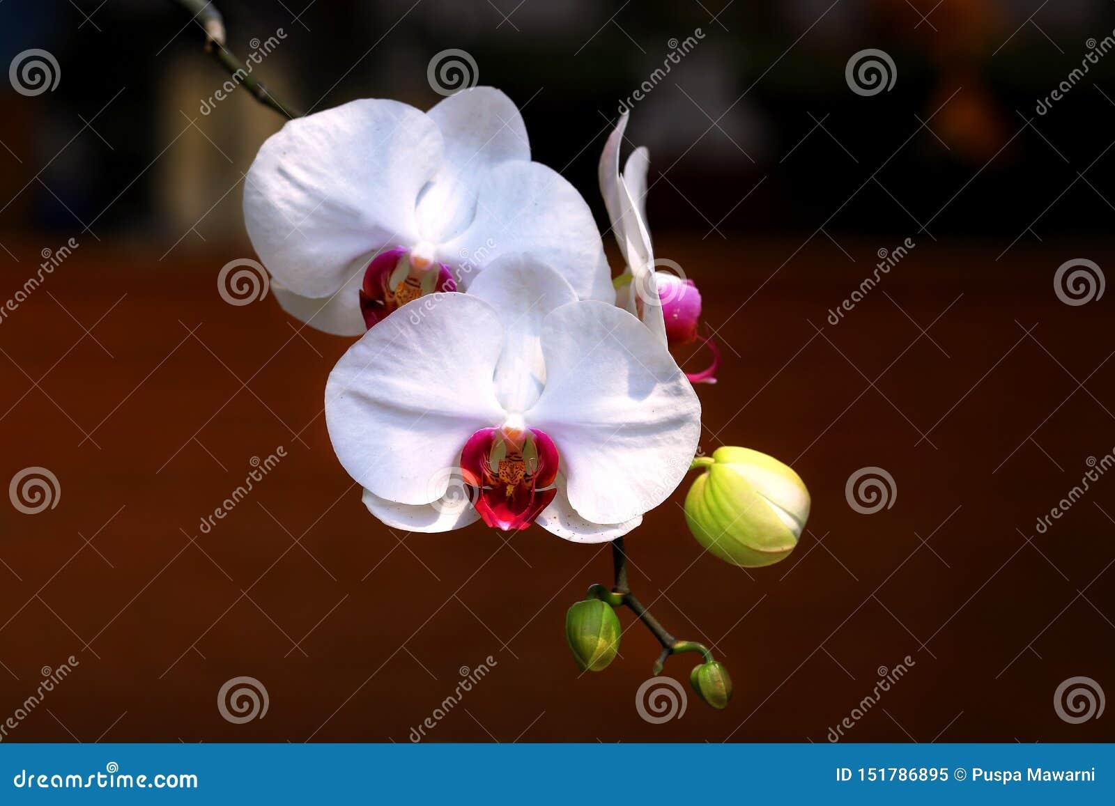 白色蝴蝶兰兰花植物Amabilis细节有模糊的背景