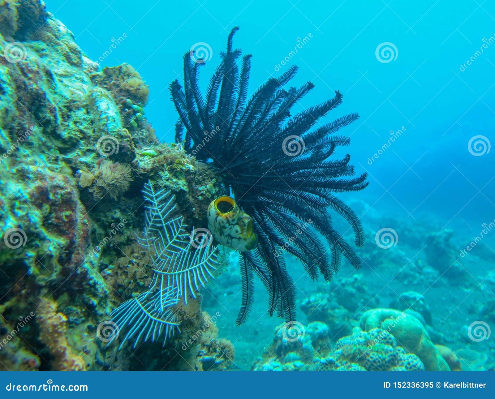白色软的珊瑚水中有珊瑚背景 在五颜六色的礁石的佩戴水肺的潜水 生动的珊瑚的水下的摄影