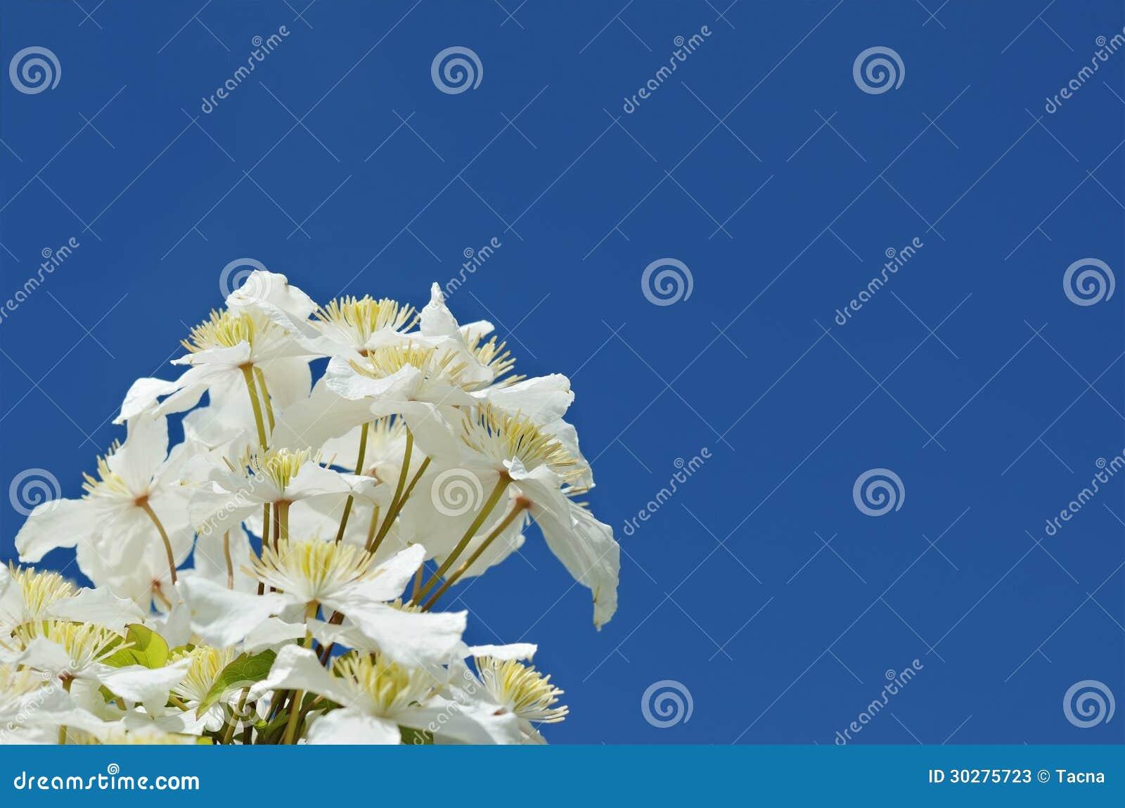 白色铁线莲属