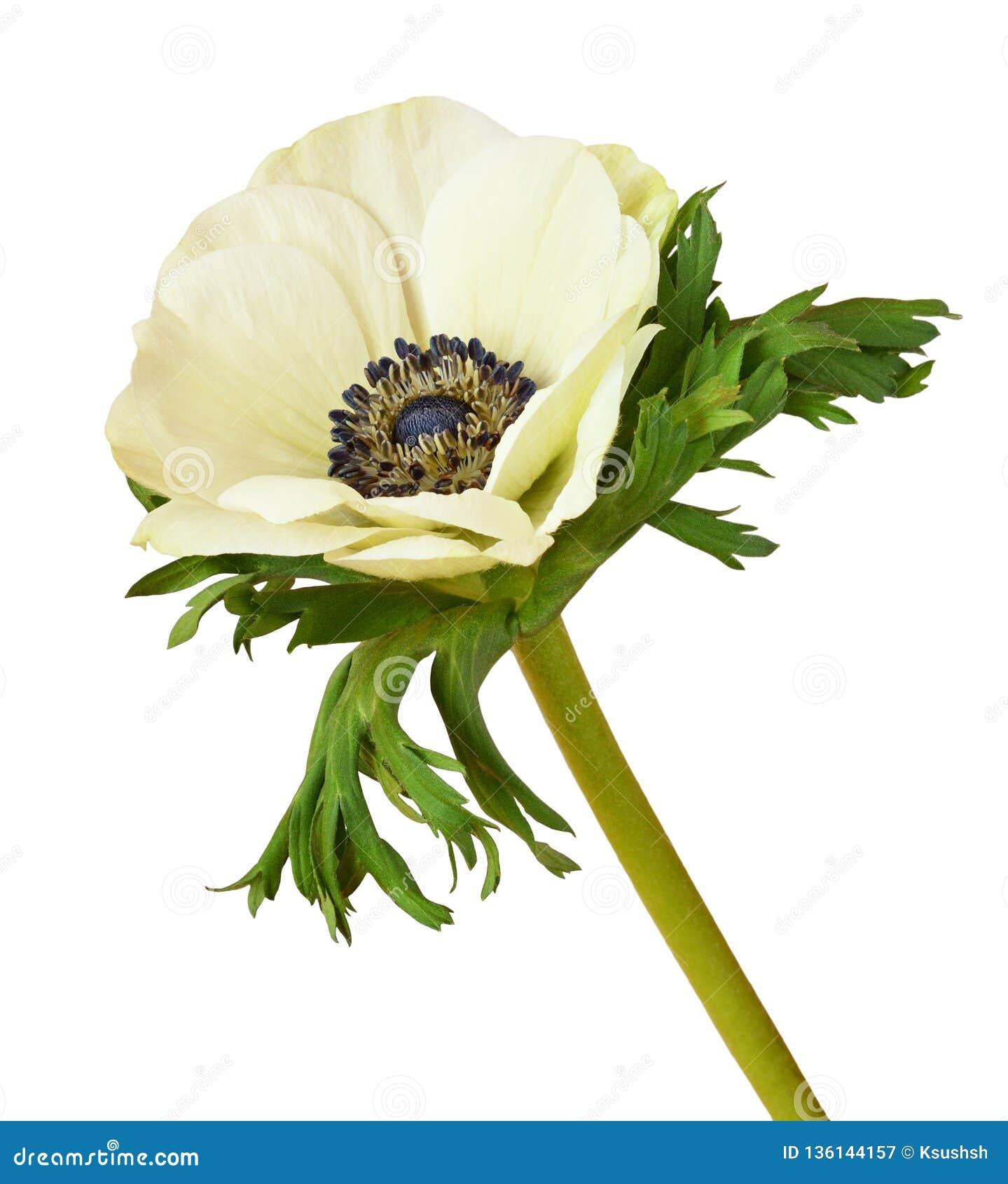 白色银莲花属花