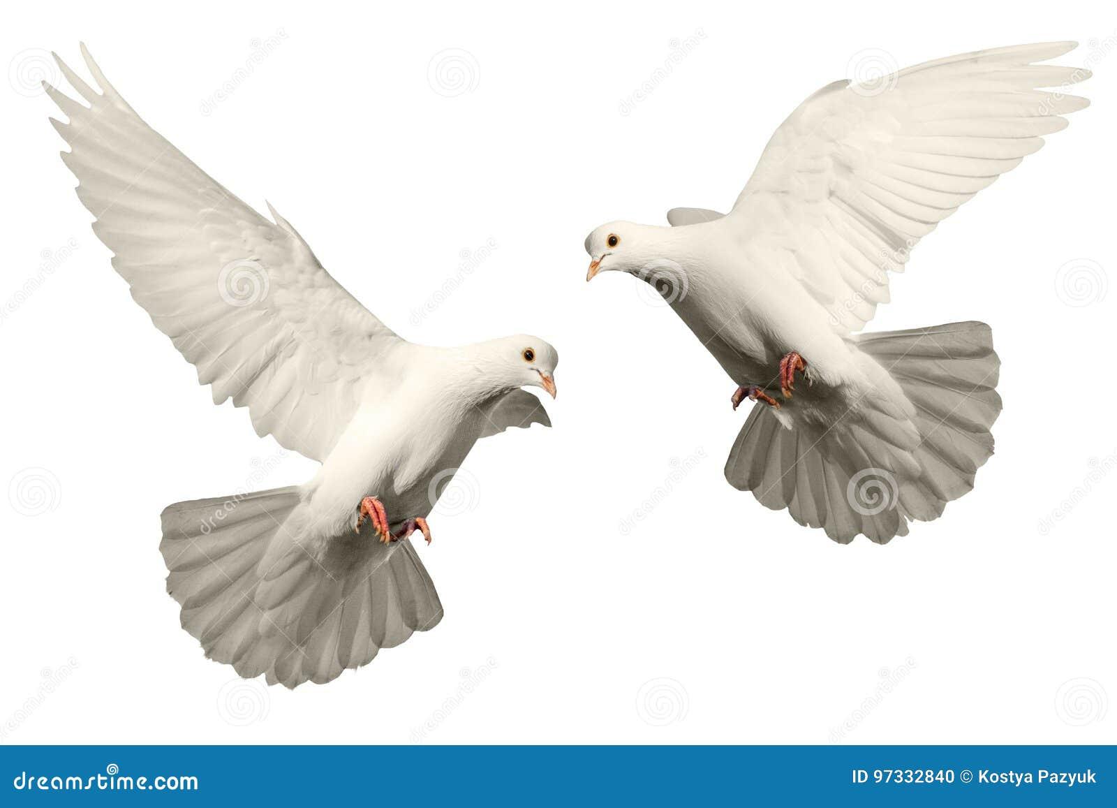 白色鸠飞行