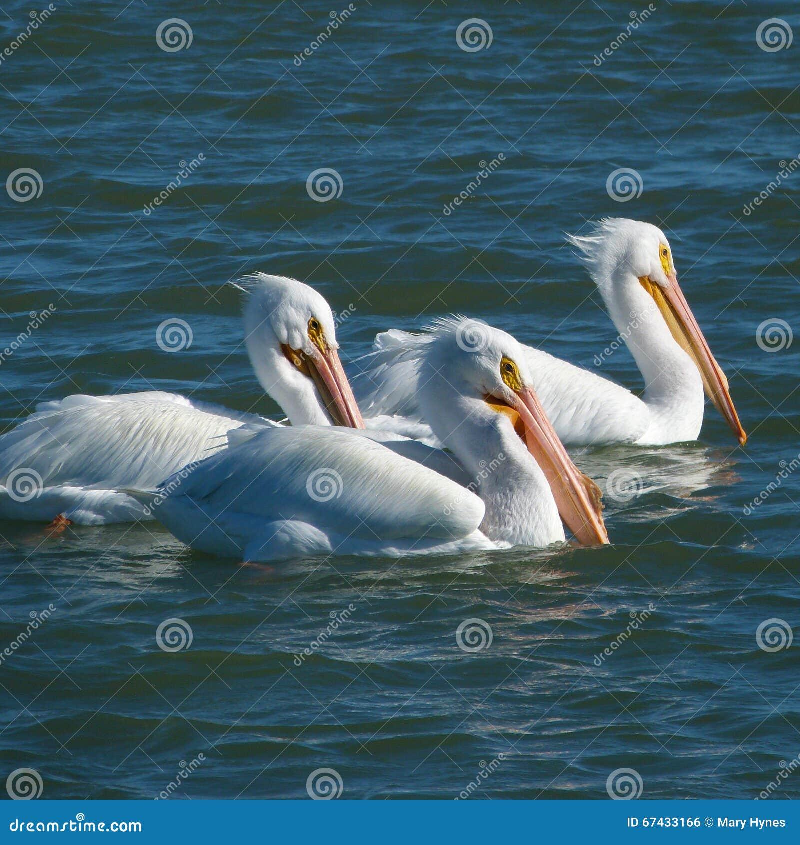 白色鹈鹕在日落的三重奏游泳
