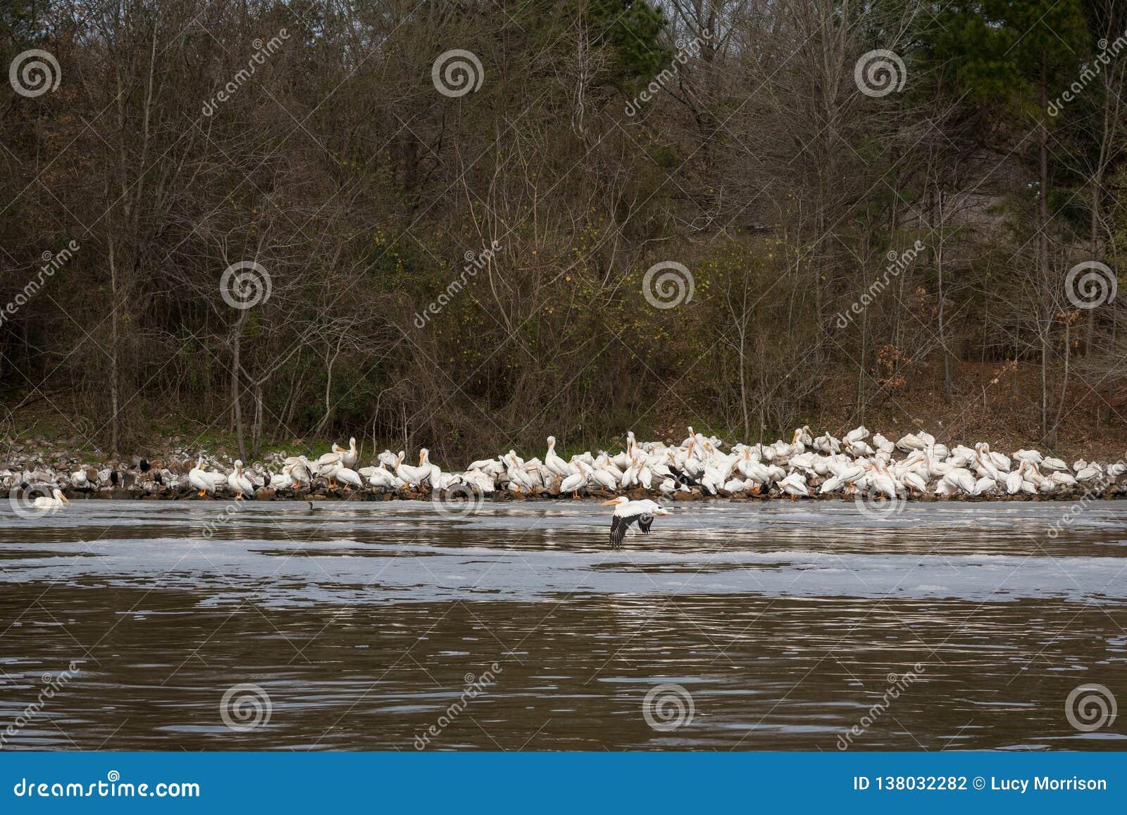 白色鹈鹕在河海岸线聚集在冬天