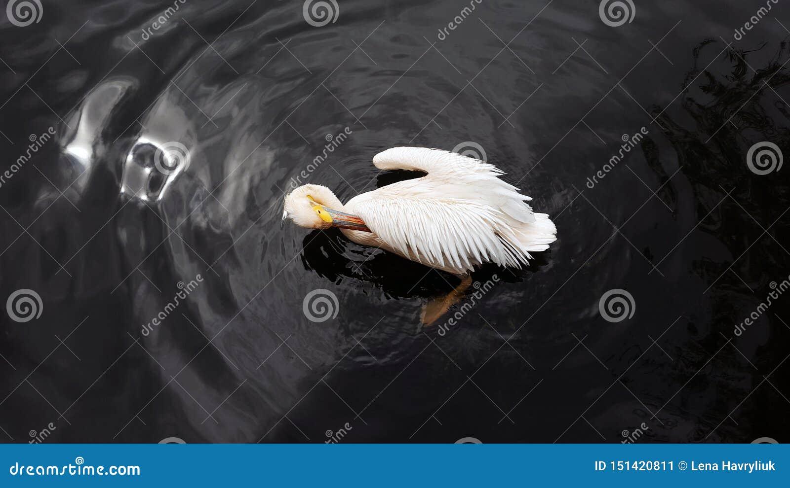 白色鹈鹕自夸的羽毛在池塘的黑暗的水中