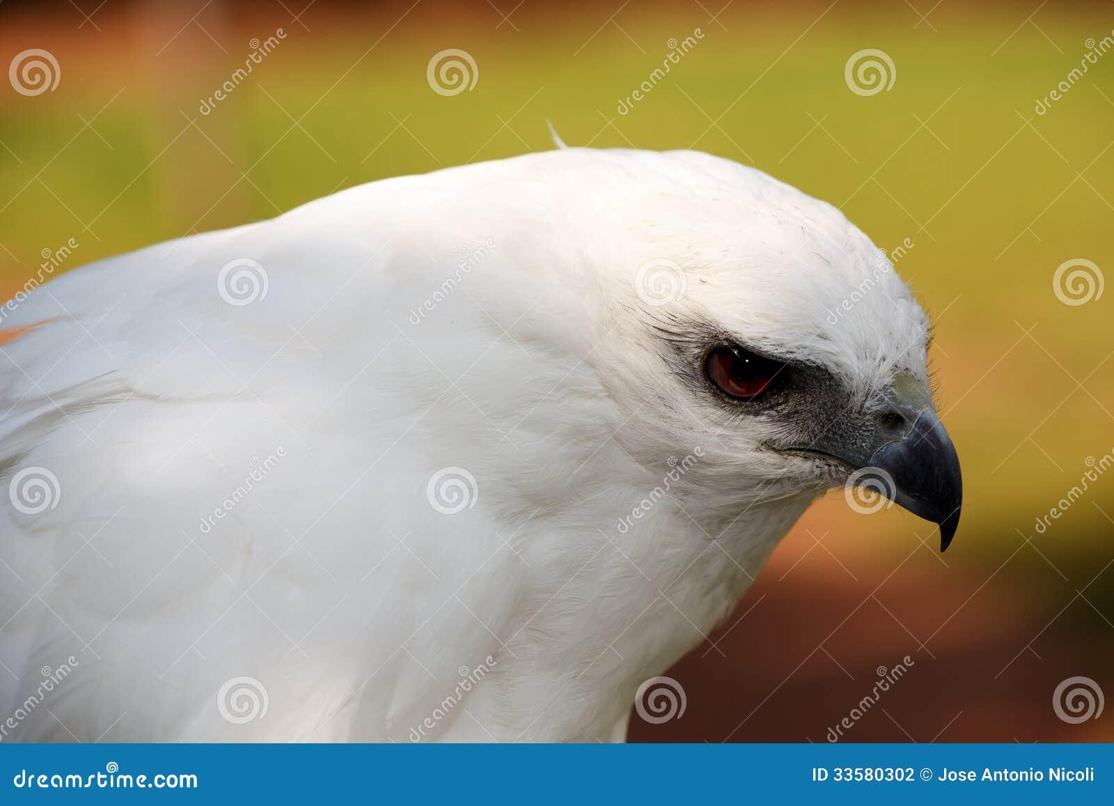 梦见白色鹰是什么意思