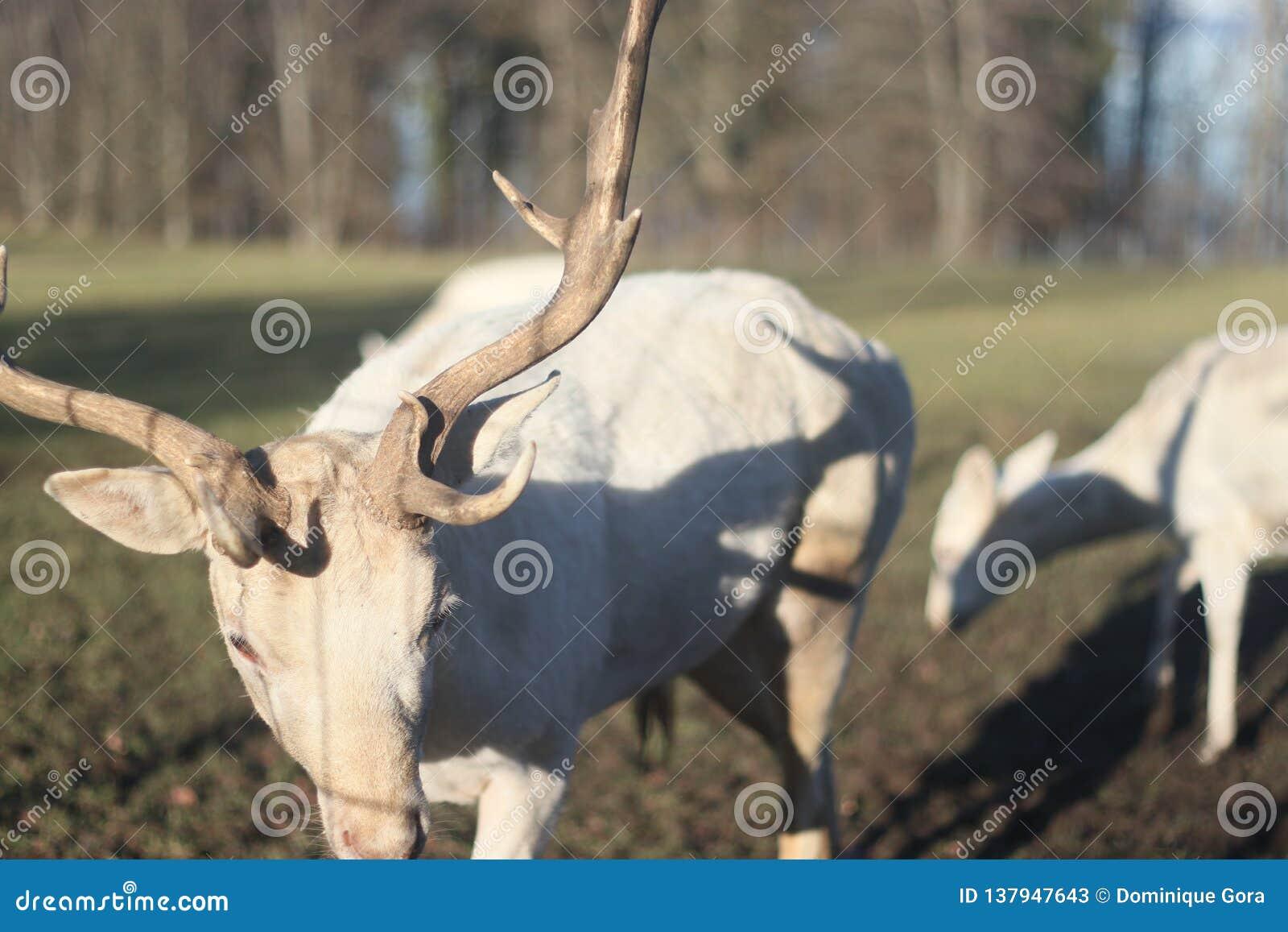 白色鹿牧群在领域的在冬天早晨