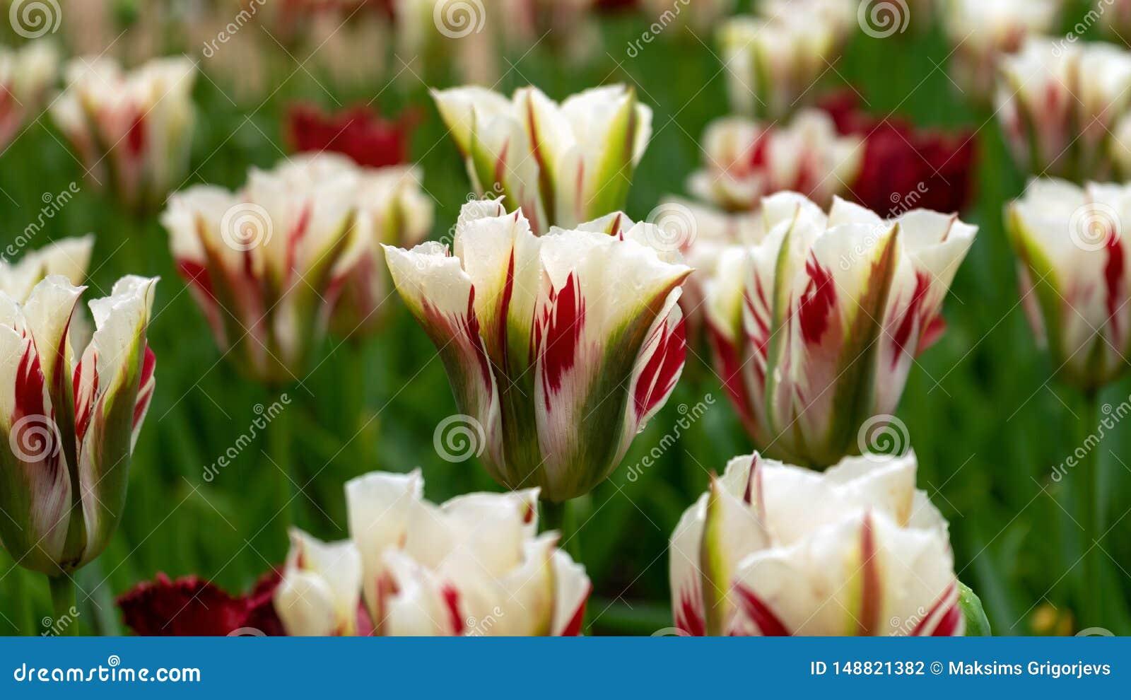 白色,红色和绿色Viridiflora郁金香在庭院里