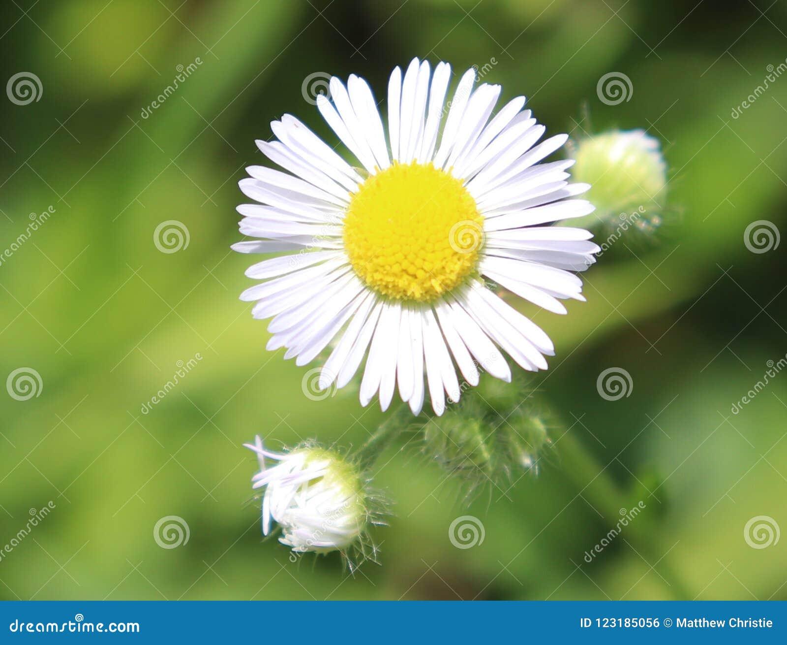 白色,雏菊,花,外部,模糊的背景