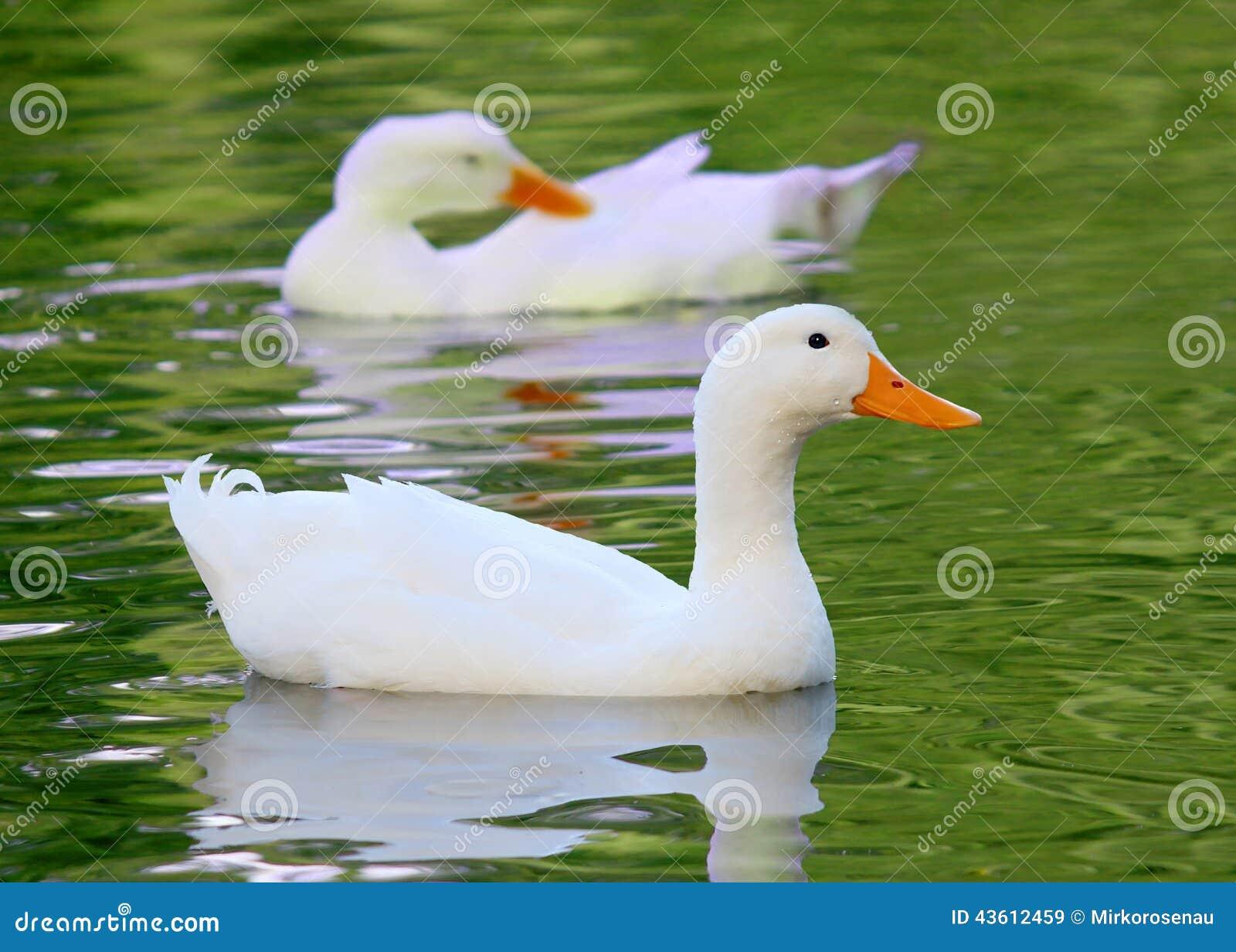 白色Pekin鸭子长岛低头语录platyrhynchos domestica