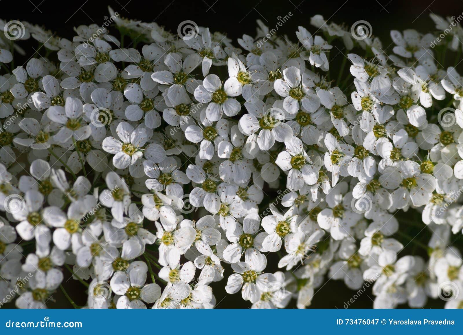 白色Spirea花