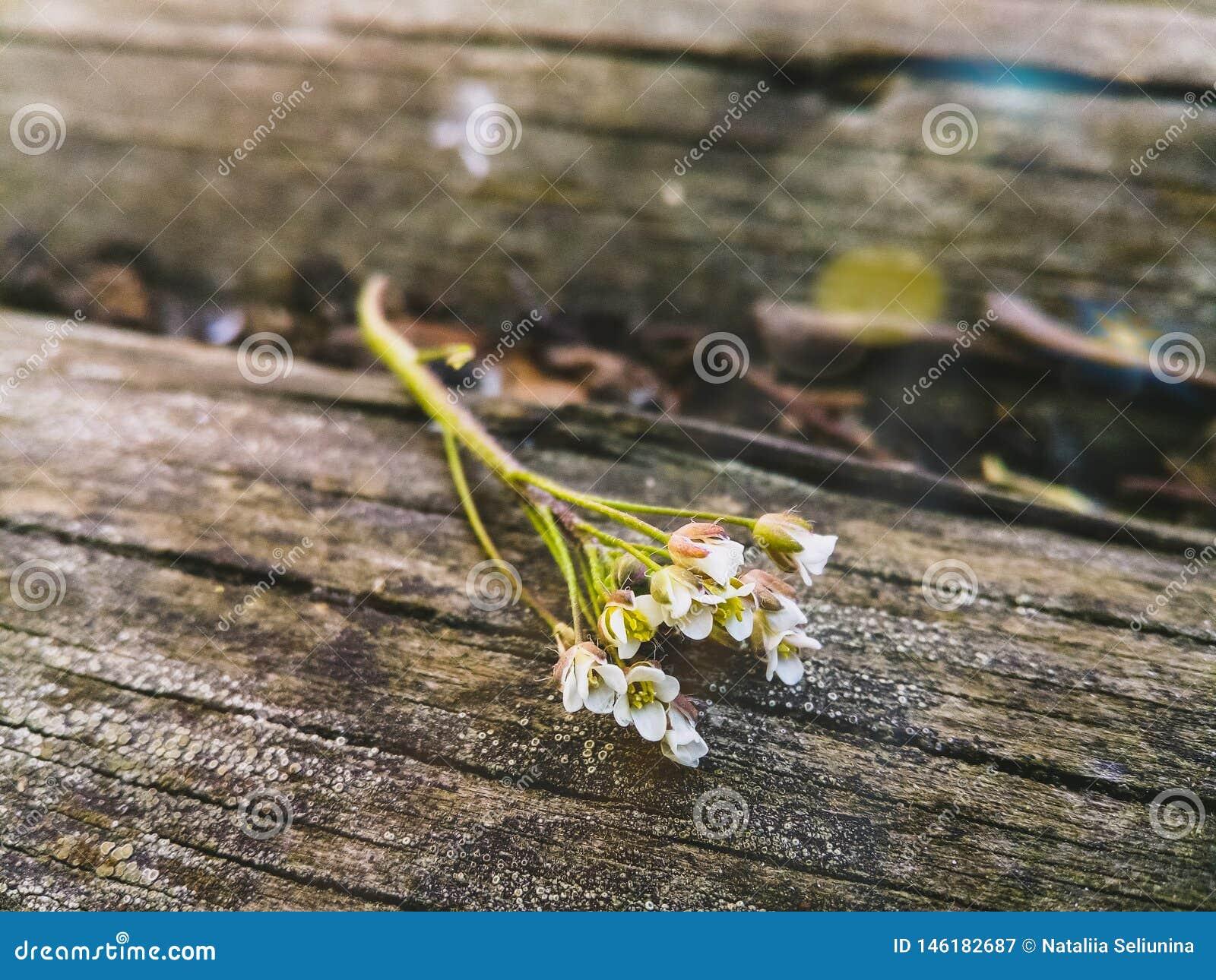 白花小树枝在木背景的
