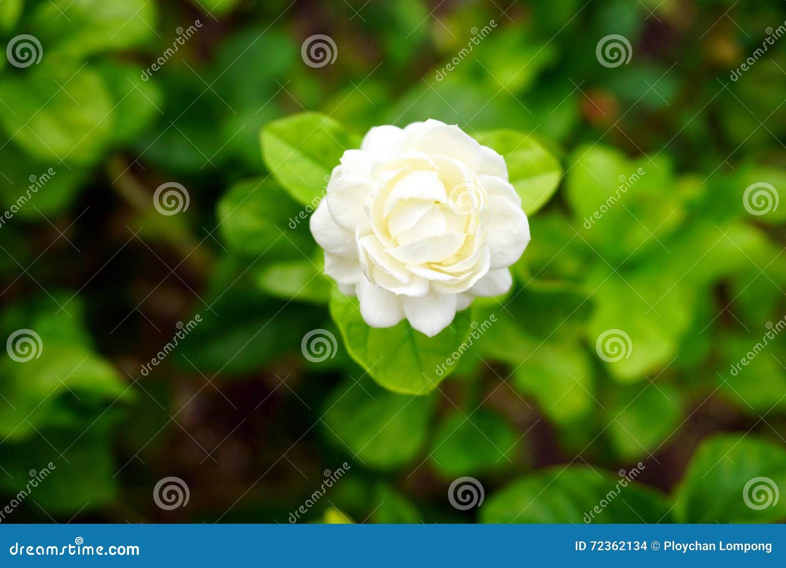 白花,茉莉花(Jasminum sambac L )