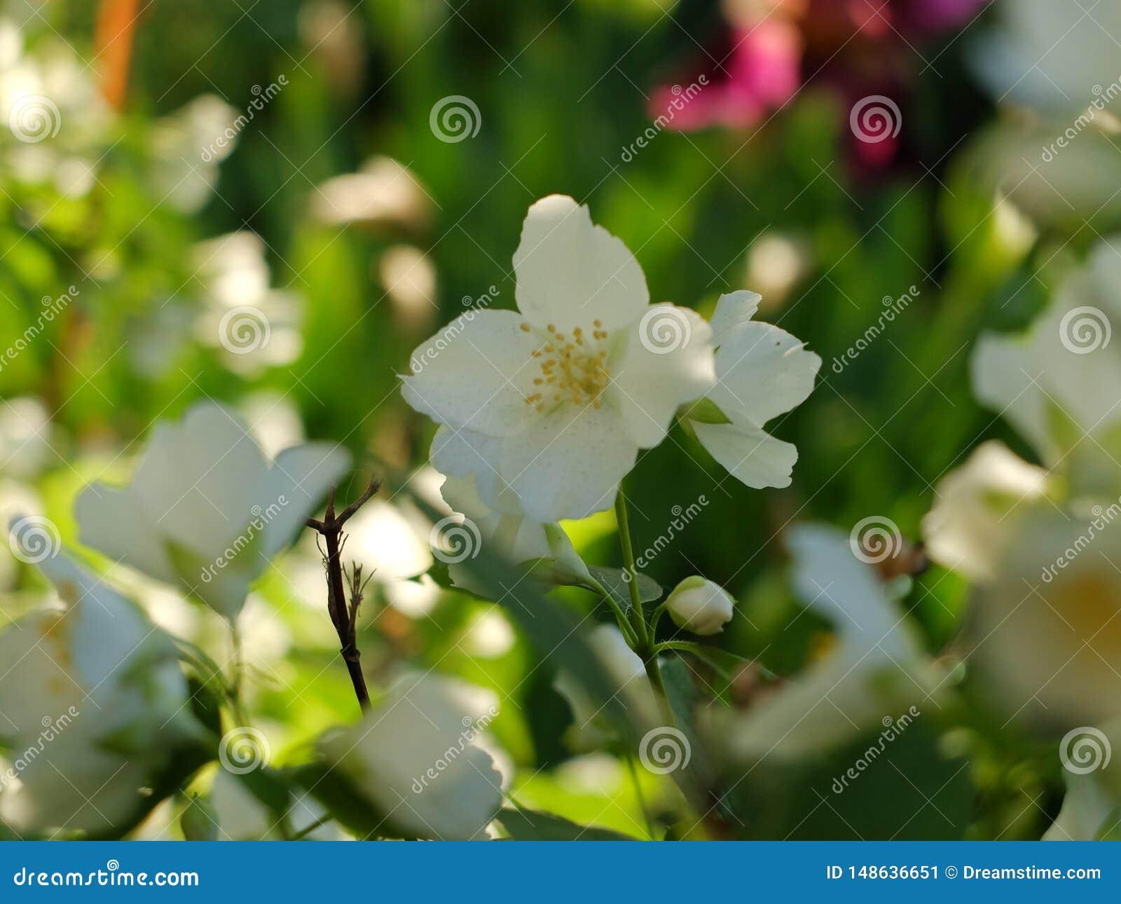白花chubushnika 一个保管妥当的庭院的明亮的颜色 自然的迷人的完美在春天